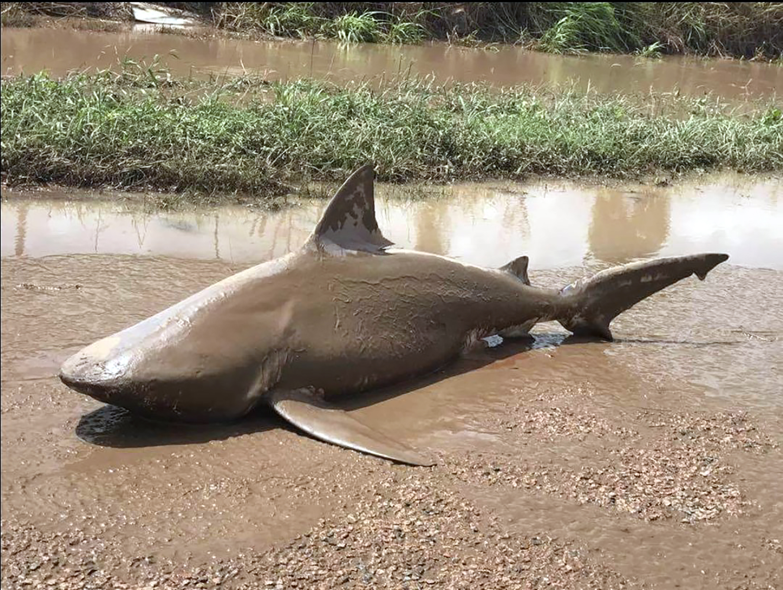 This handout photo from the Queensland Police Service taken on March 30, 2017 shows a bull shark washed up on a road near the town of Ayr.