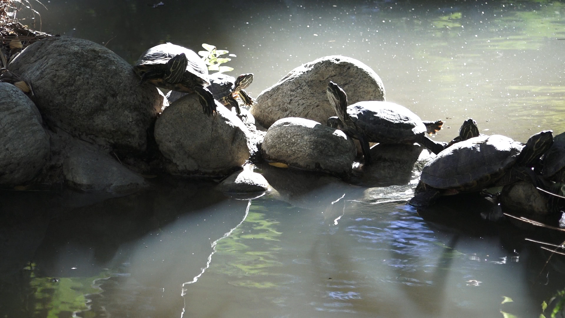 The red-eared slider turtles bask in the sun at the University of California Los Angeles Mildred E. Mathias Botanical Garden. These turtles are not natives of California.