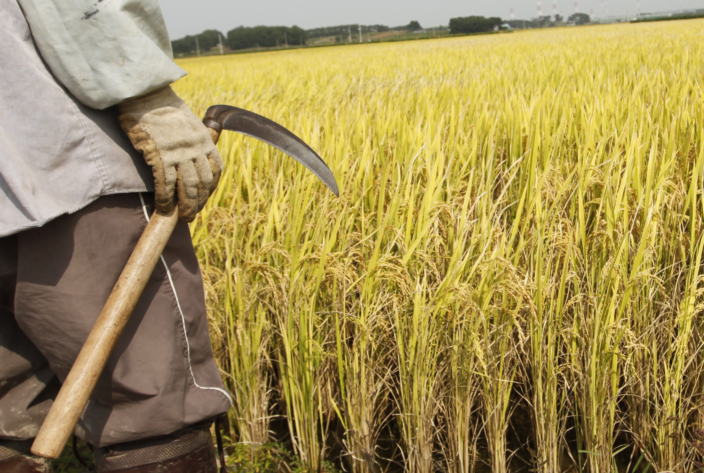 FILE - A farmer holds a sickle on a rice field in Gimje, south of Seoul, Sept. 22, 2009. When Cambodian workers some to South Korea for employment, they can earn $1,200-$1,300 a month in agricultural jobs.