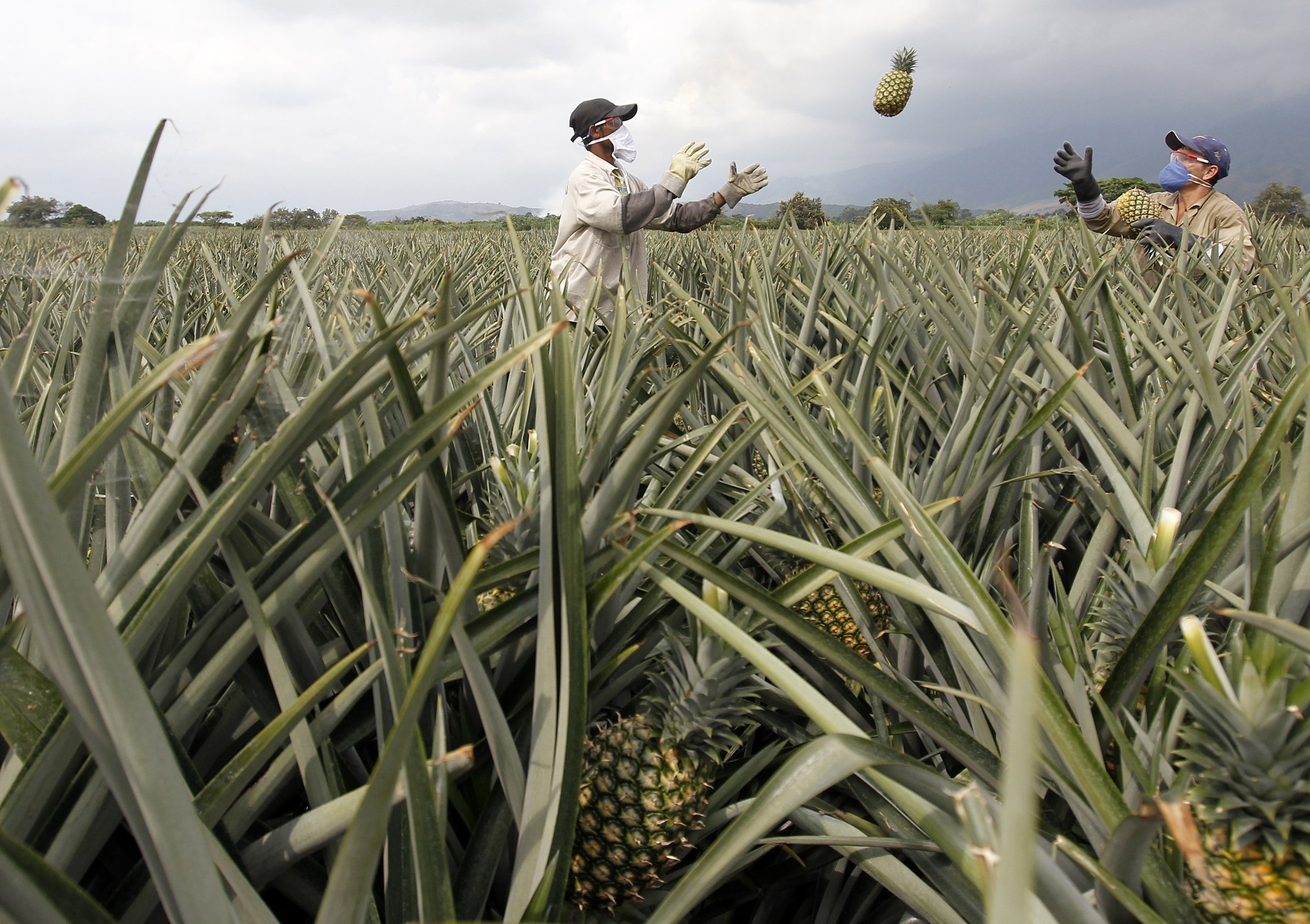 FILE - Men work on a crop of pineapples in Pradera, Colombia, Feb. 5, 2014.