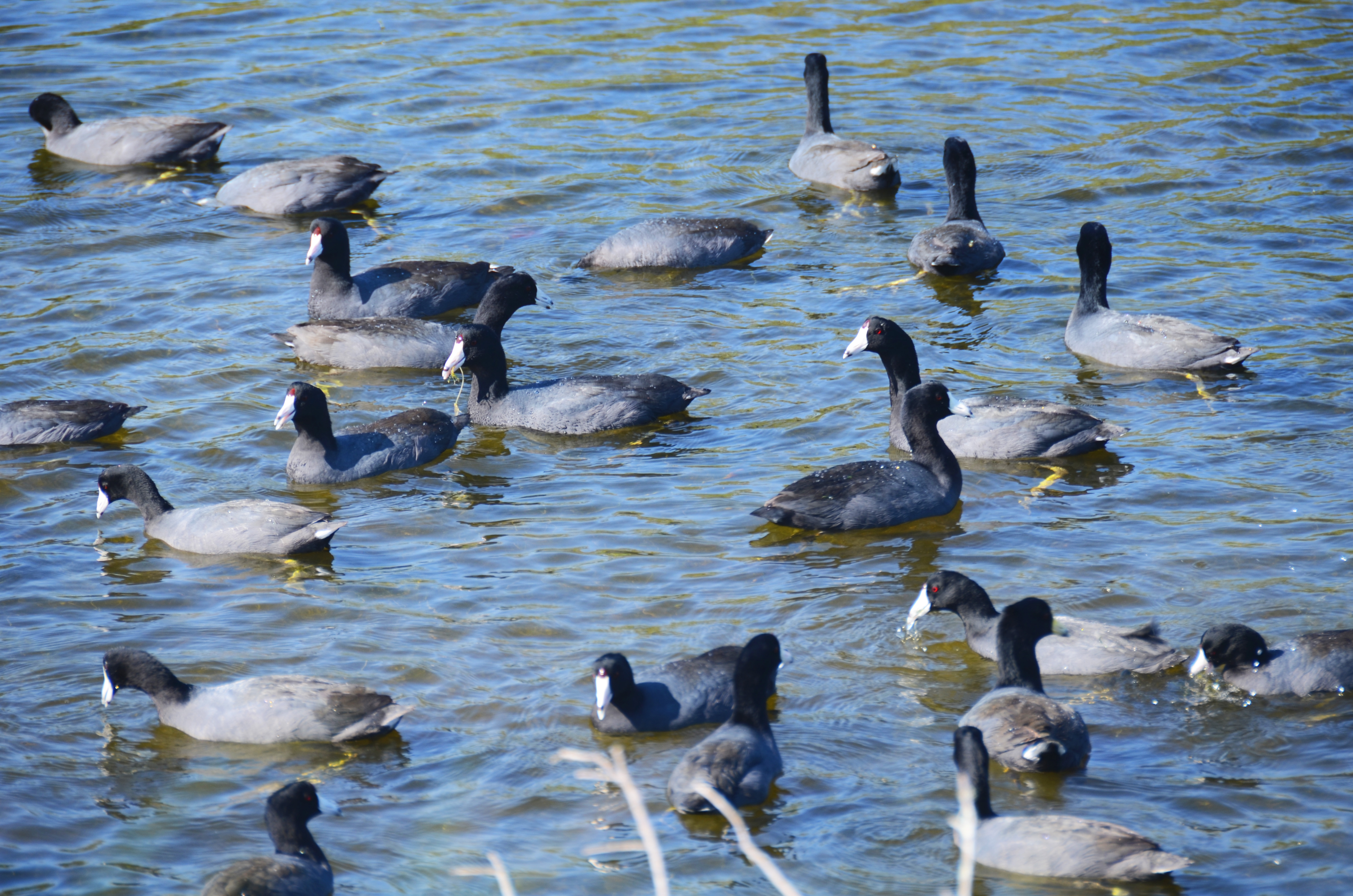 This flock of coots is just a fraction of the waterfowl that spend the winter at Canaveral National Seashore and the adjacent Merritt Island National Wildlife Refuge in Florida.