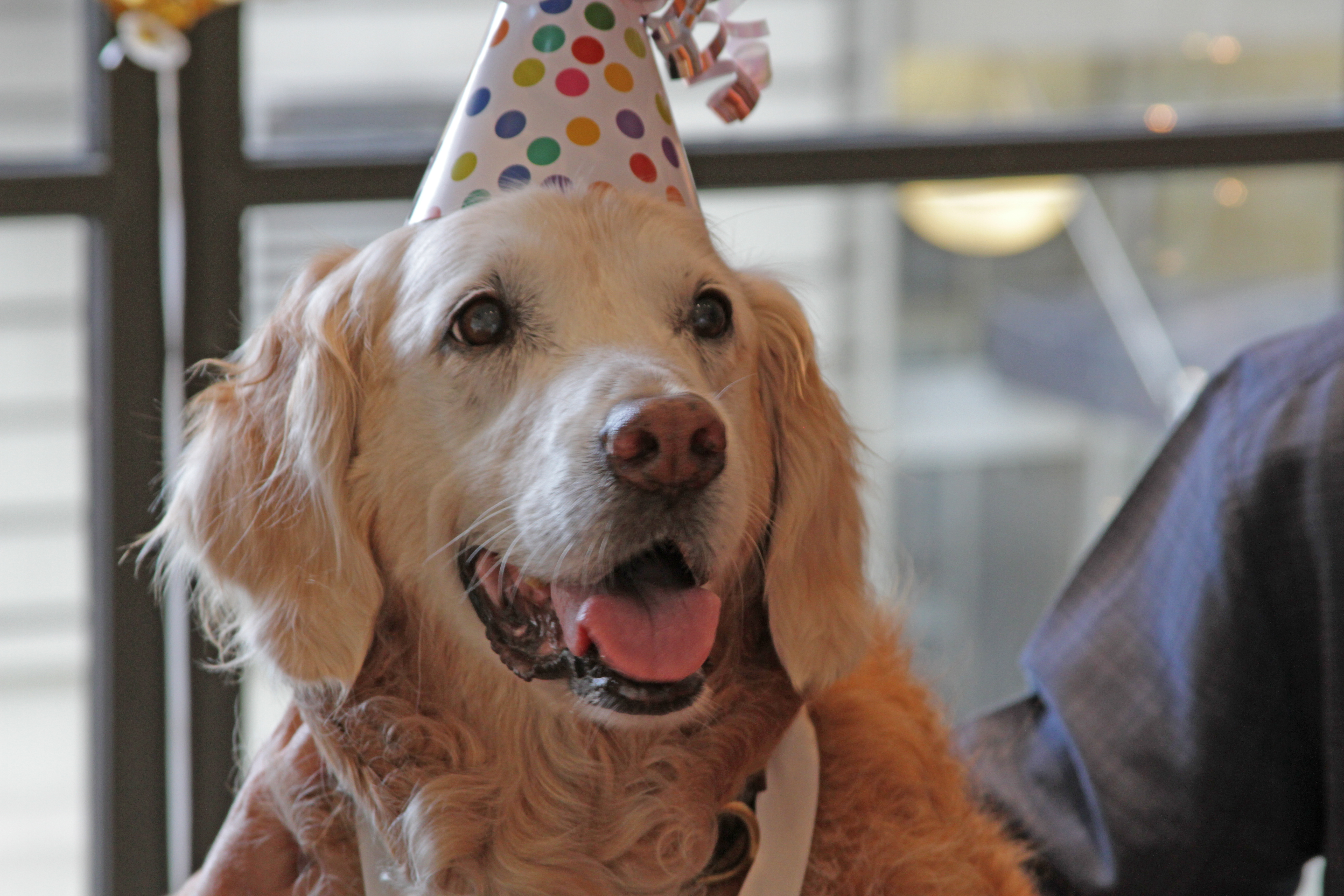 Rescue dog Bretagne, who searched for survivors and victims after the September 11, 2001 attack in New York, celebrated her 16th birthday amid a lot of attention and pampering. (Barkpost.com)