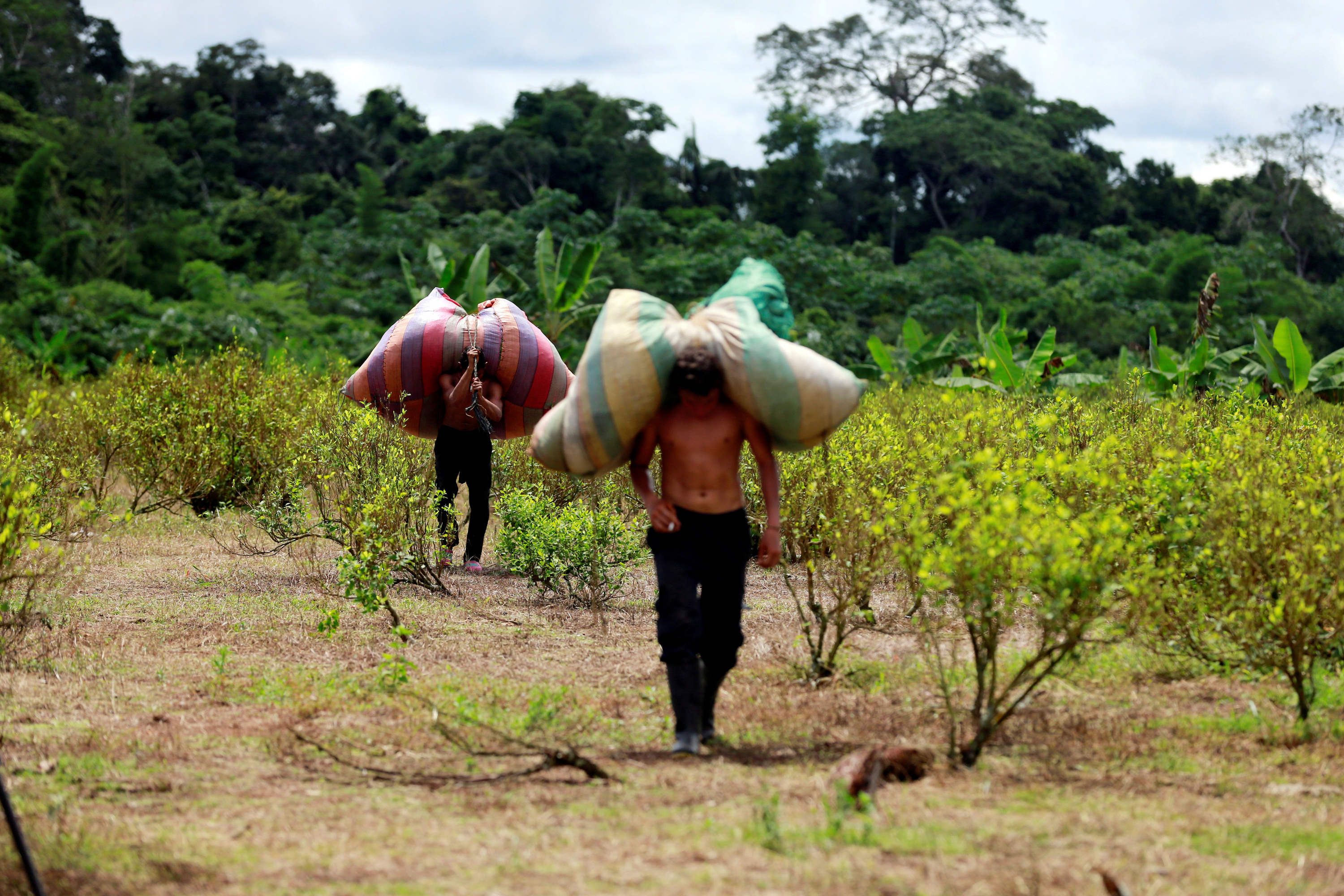 """Workers who collect coca leaves, known locally as """"raspachines,"""" carry bags with harvested leaves to be processed into coca paste, on a coca farm in Guayabero, Guaviare province, Colombia, May 23, 2016."""