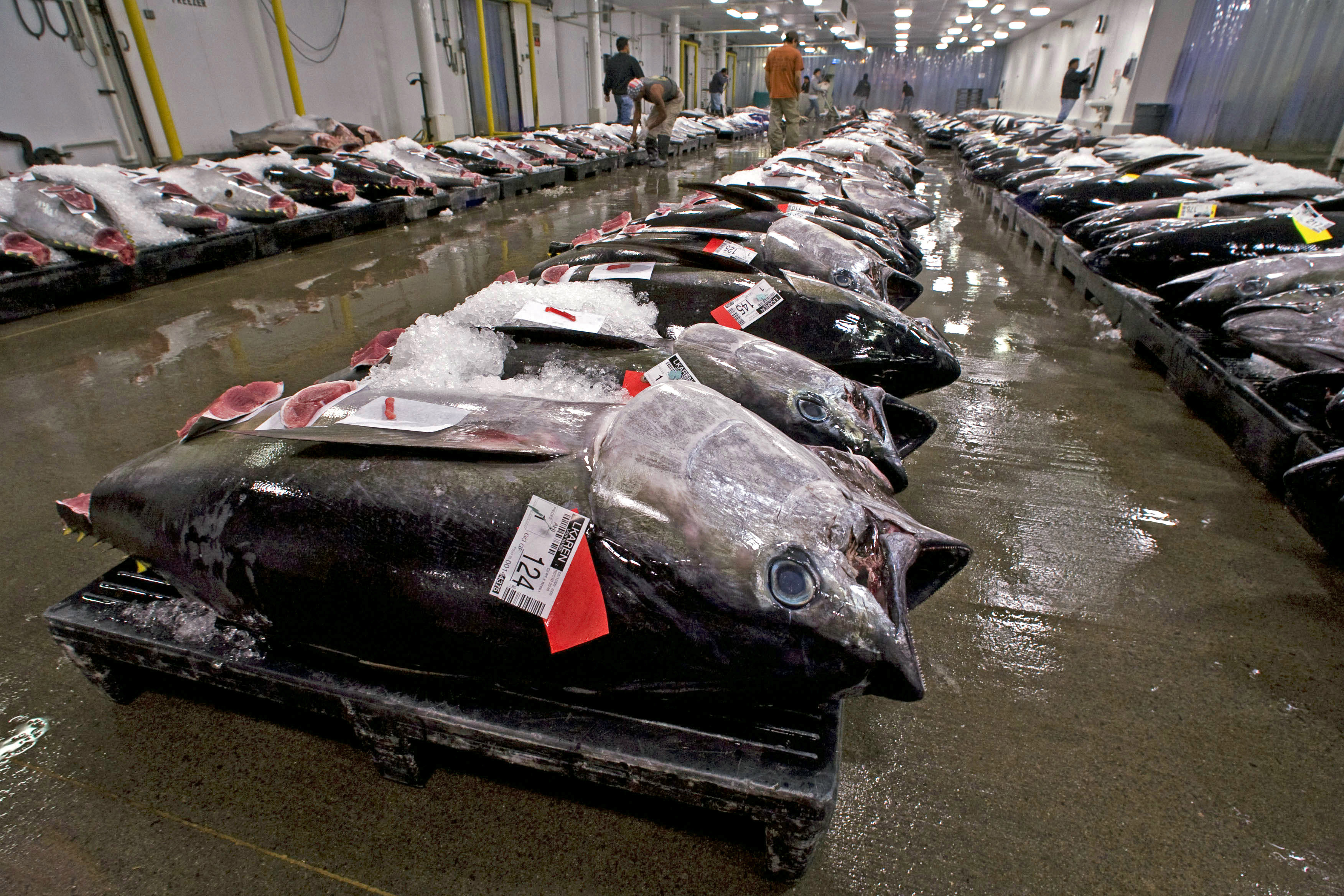 FILE - In this May 12, 2009, file photo, bigeye tuna line the floor of the United Fishing Agency's auction house in Honolulu. Federal regulators are allowing Hawaii fishermen to resume catching a prized tuna species in their most productive fishing g...