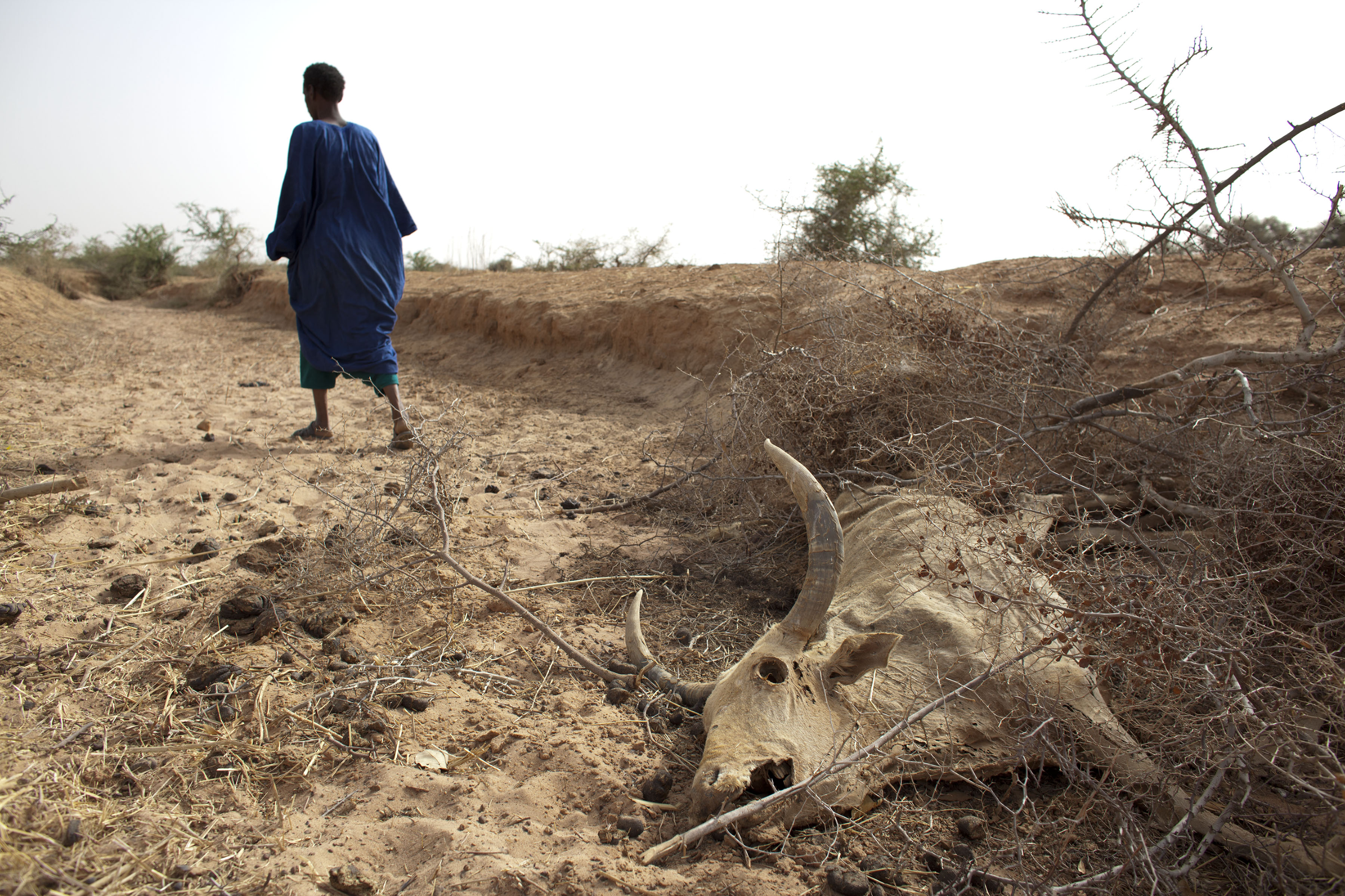 FILE - A herder walks away after showing where he says one of his cows died of starvation, outside Dikka village, in the Matam region of northeastern Senegal, May 1, 2012.