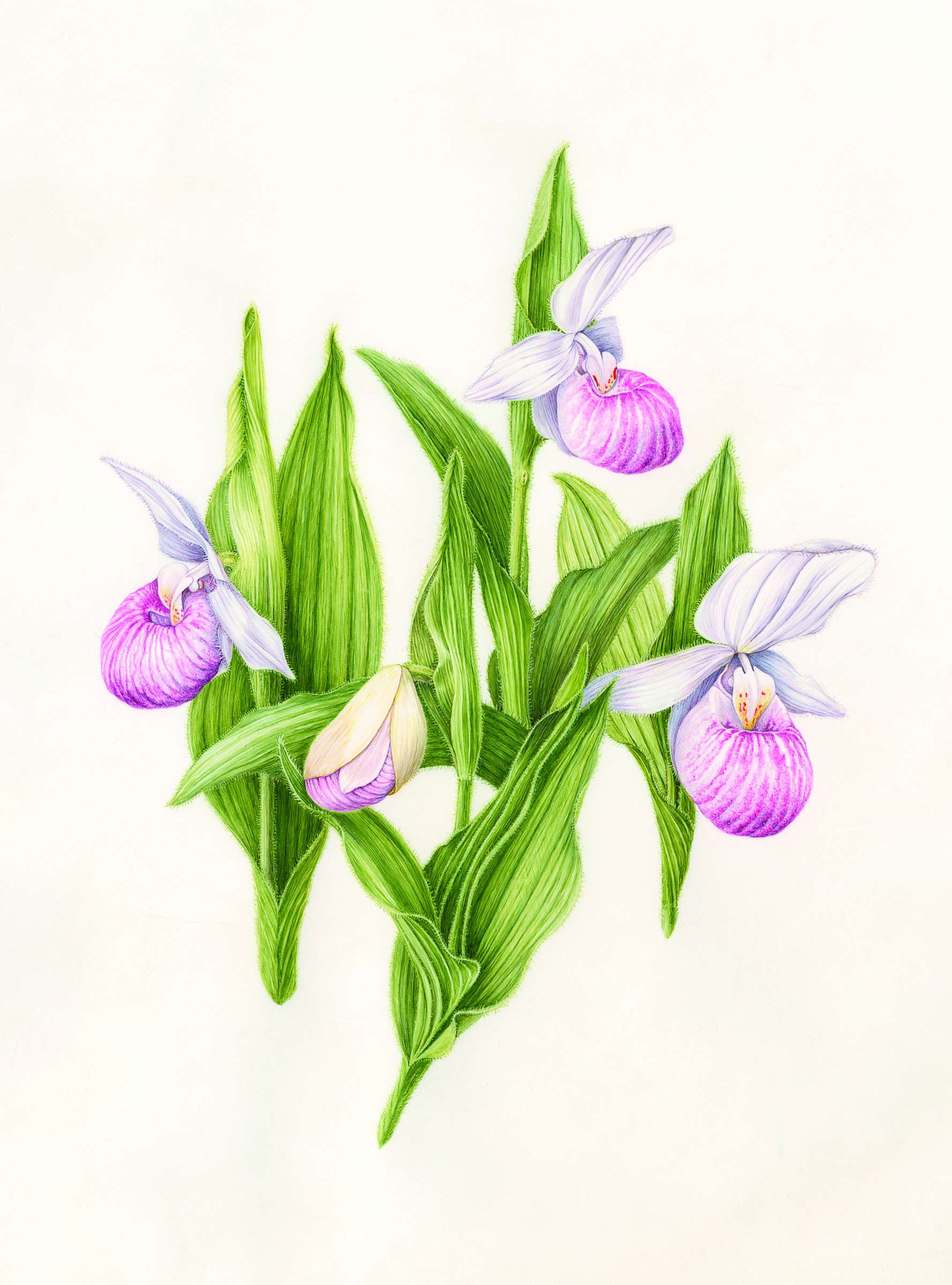 Lady's Slipper by Linda Powers, one of the pictures on show at the exhibit. (United States Botanic Garden)