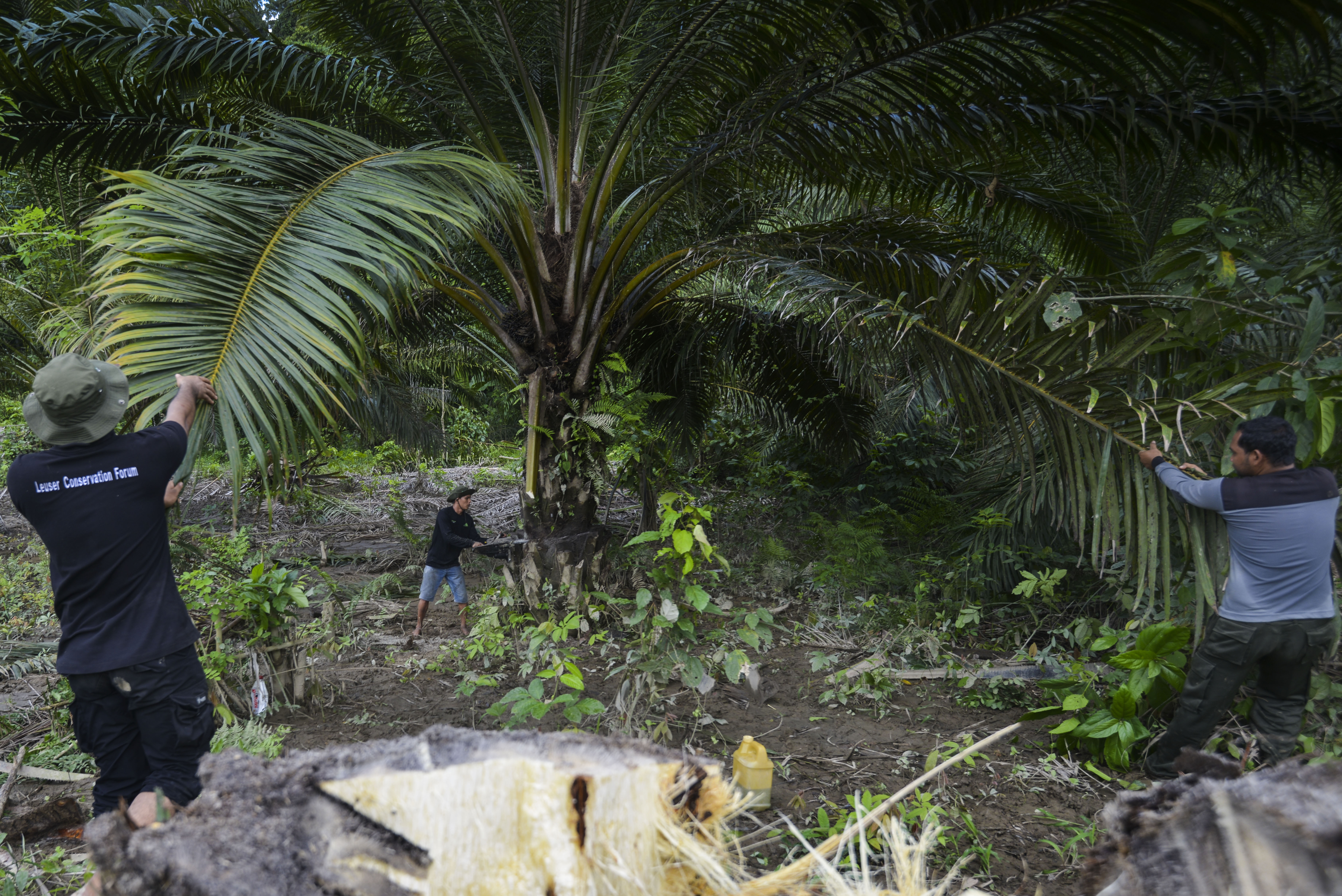 Indonesian rangers cut down illegal palm oil trees within the protected Leuser ecosystem rainforest in the Subulussalam district, Aceh province, Jan. 9, 2019.
