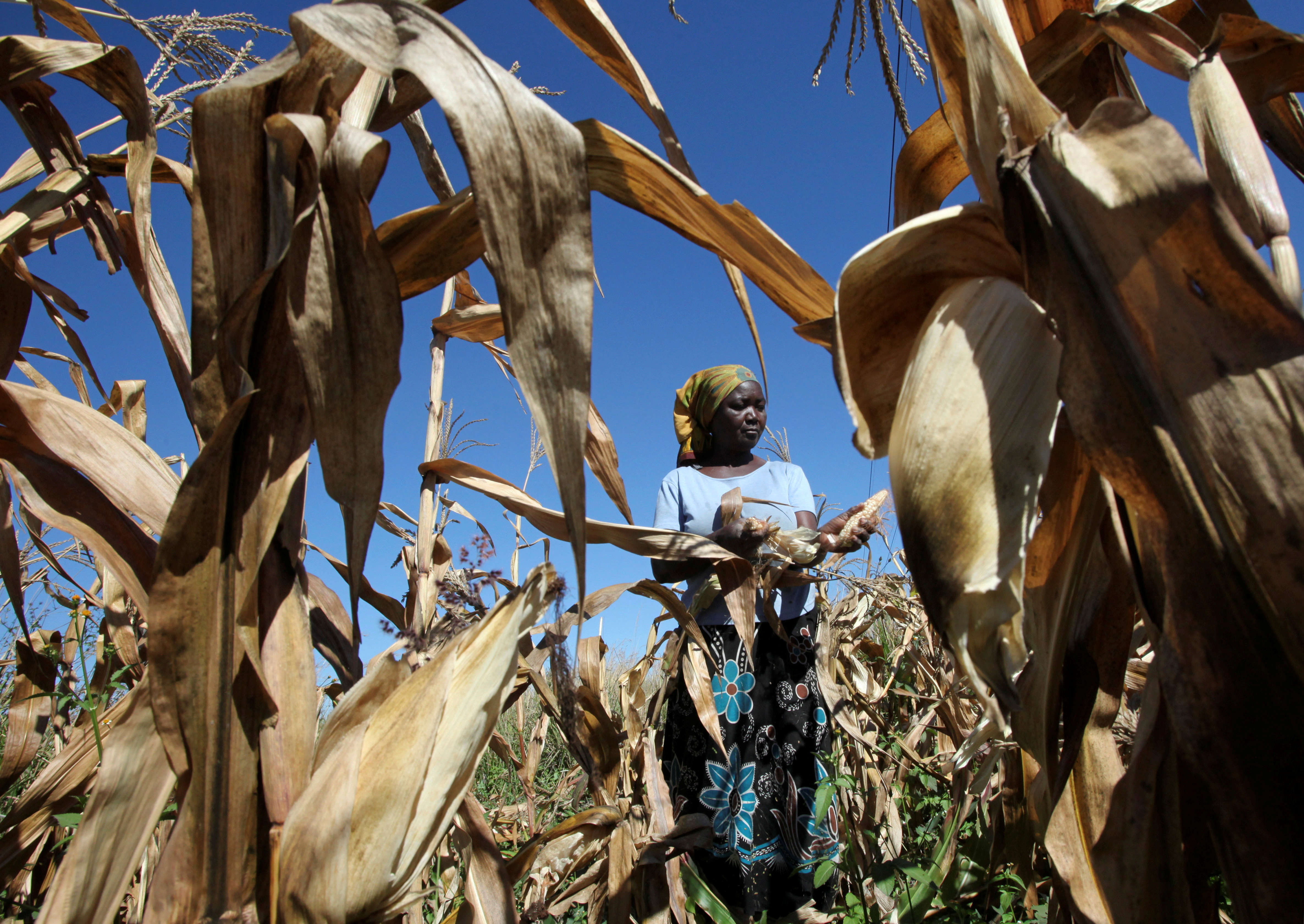 Subsistence farmer Joice Chimedza harvests maize on her small plot in Norton, a farming area outside Zimbabwe's capital Harare, May 10, 2016.