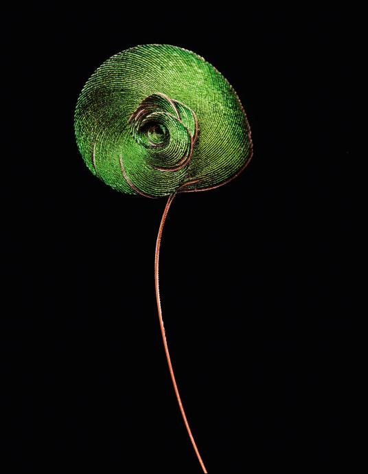 The male bird of paradise from Papua New Guinea uses its coiled tail feather in a complex mating ritual.