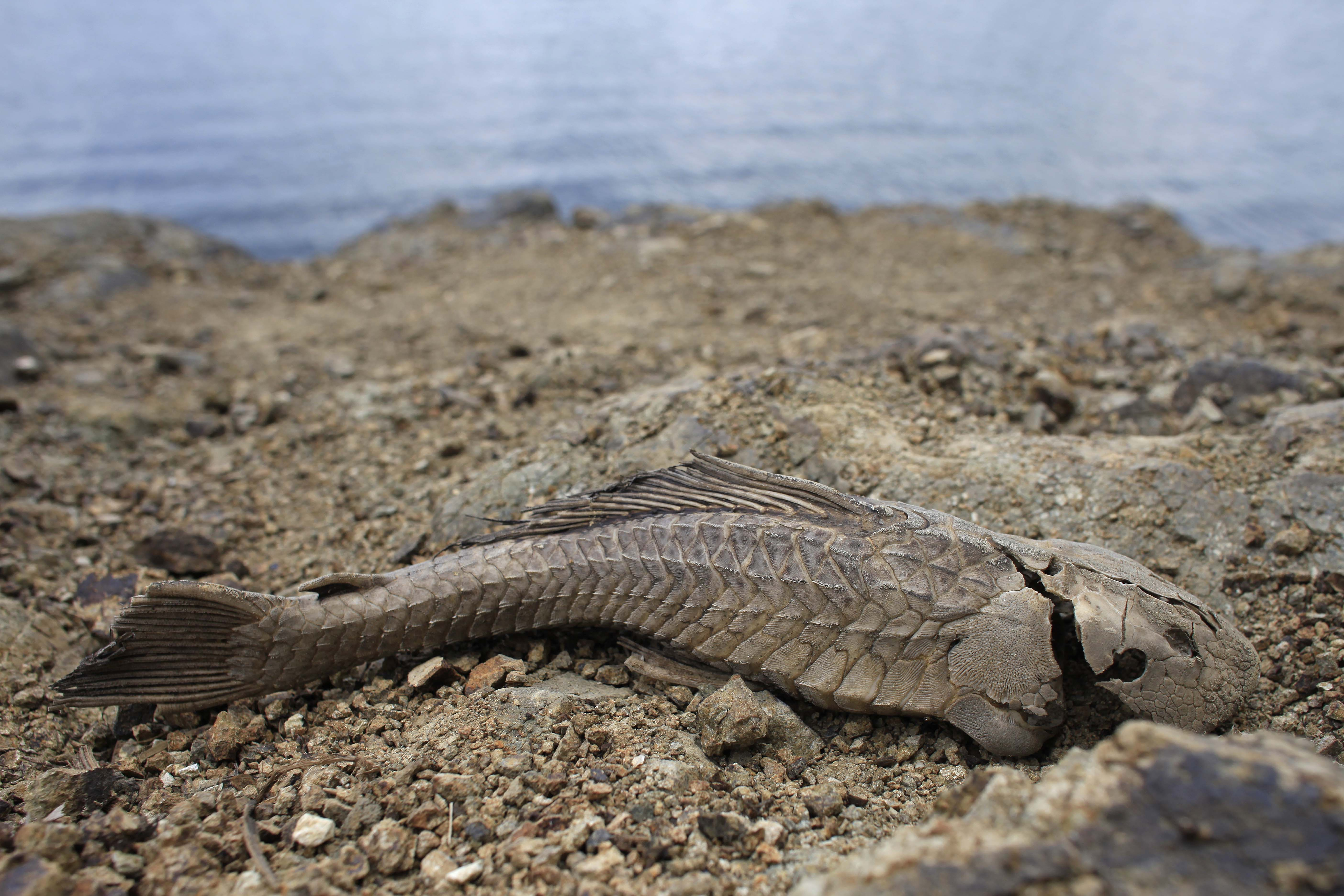 FILE - A fish carcass litters the banks of the unusually low Carraizo reservoir in Trujillo Alto, Puerto Rico, June 15, 2015.