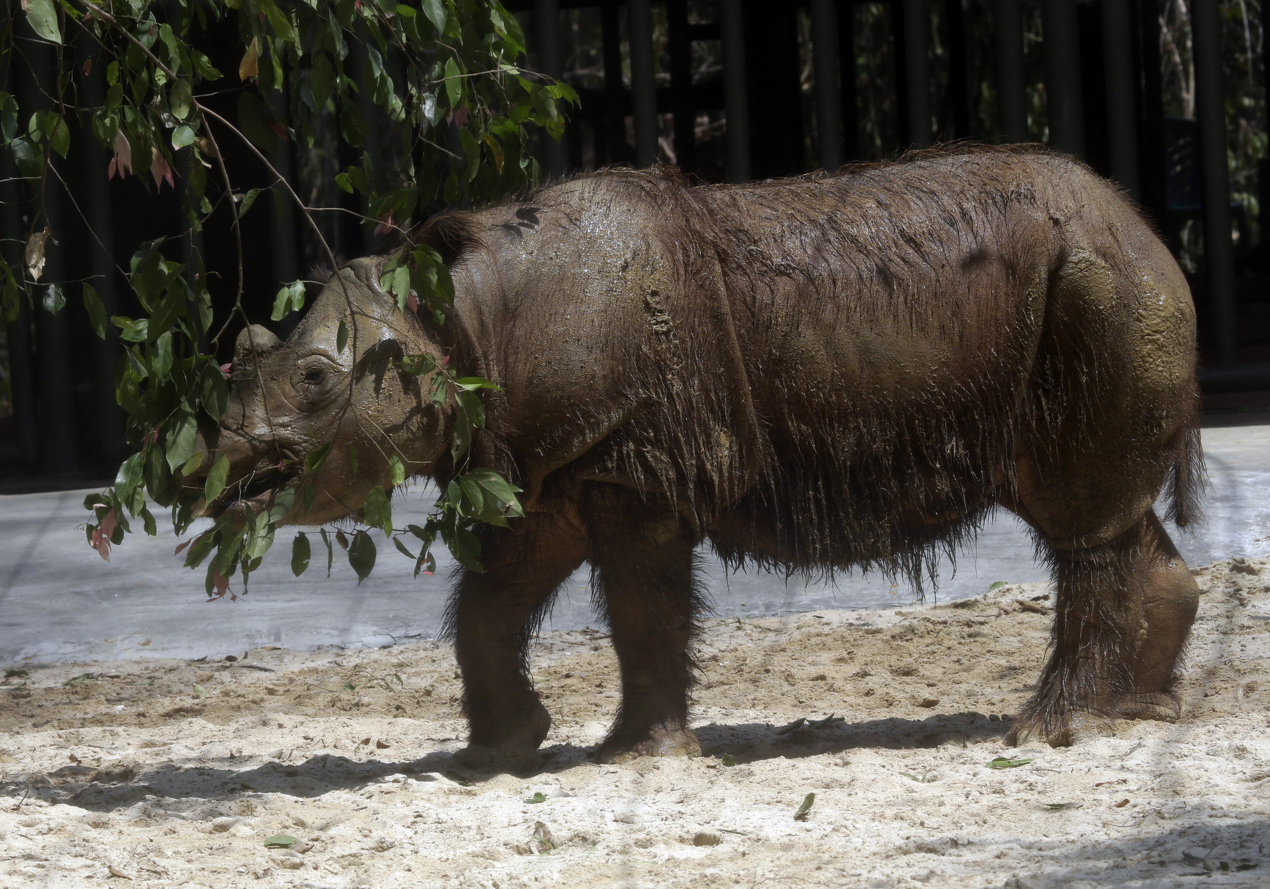 """Harapan is one of an estimated 100 Sumatran rhinos, also known as the """"hairy rhino,'' left in the world, and nine are in captivity."""