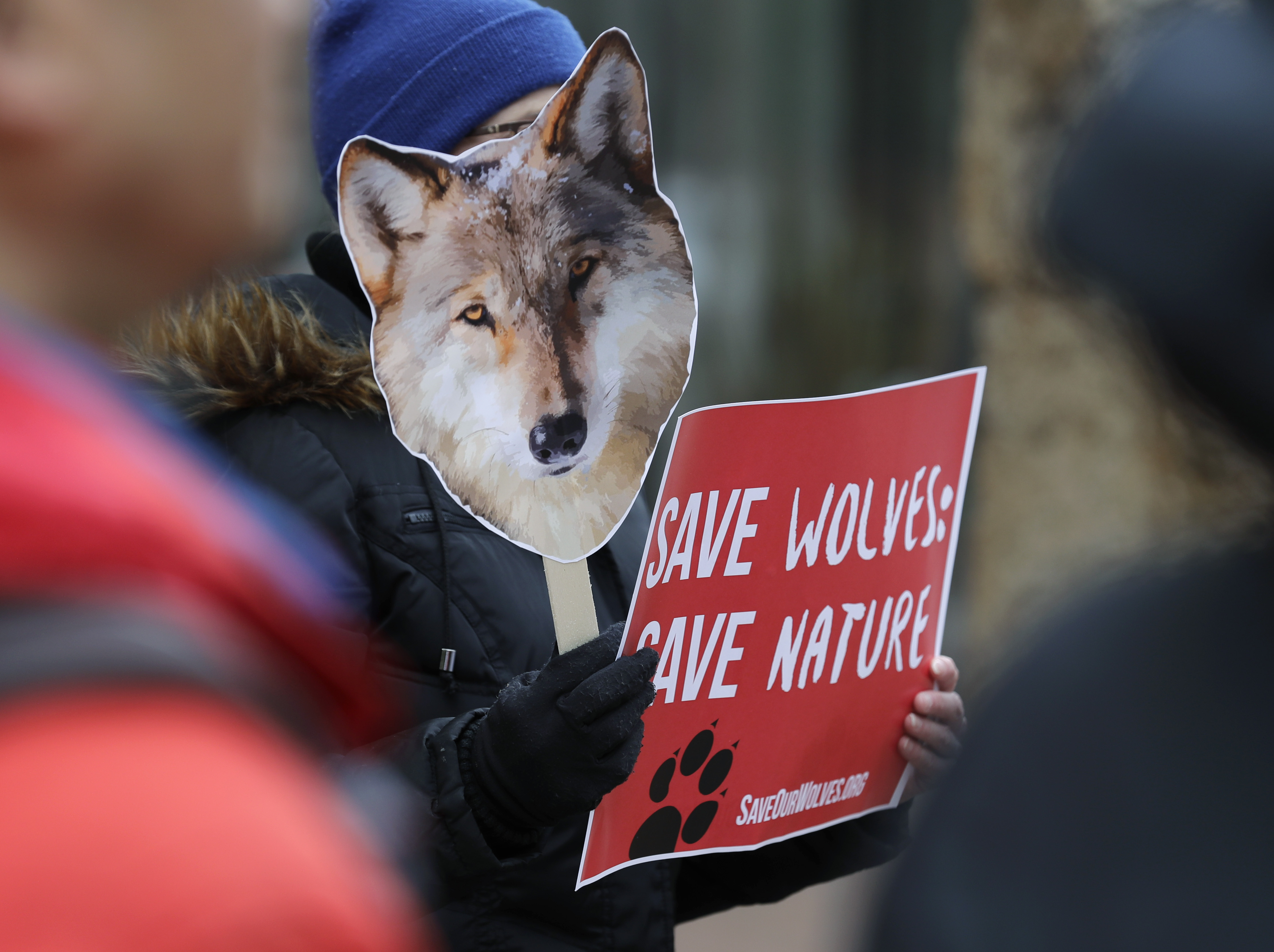 Darlene Baker, of Sammamish, Wash. holds a photo of a wolf as she takes part in a protest, March 7, 2019, at the Henry M. Jackson Federal Building in Seattle against a Trump administration proposal to lift protections for gray wolves across the Lower...