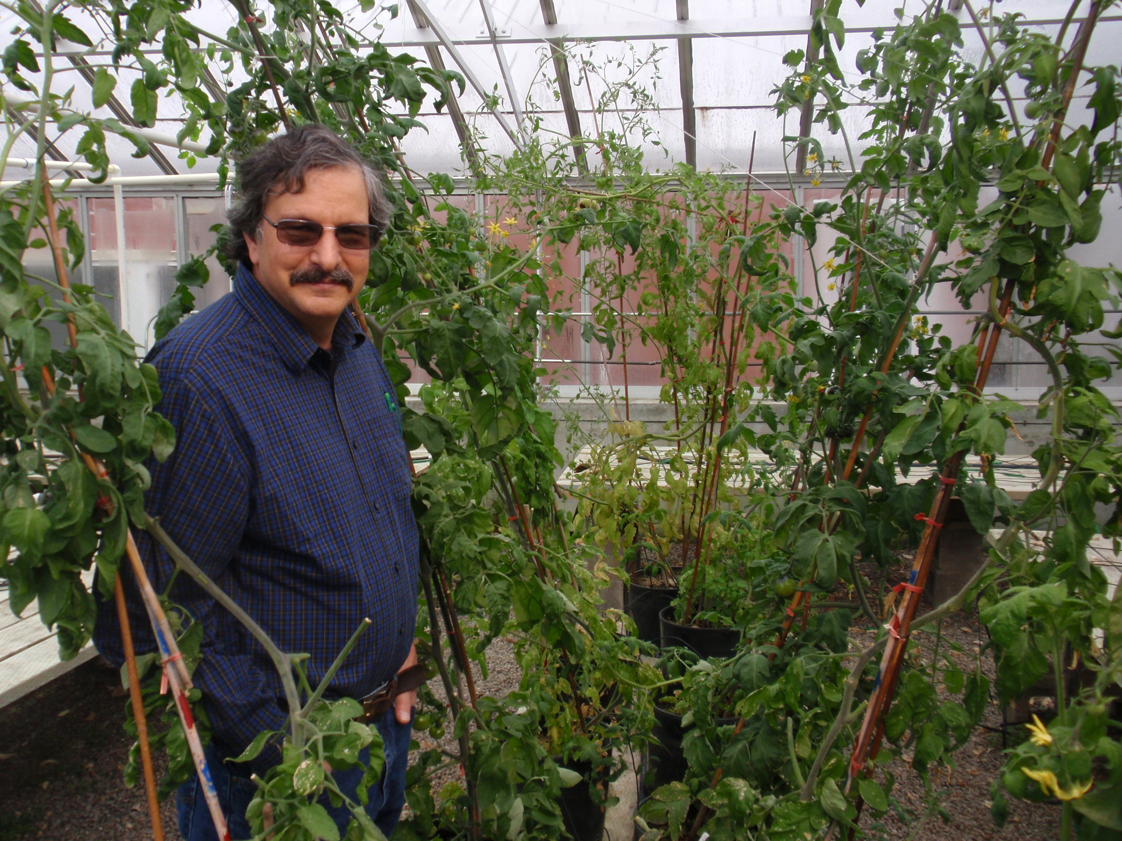 OSU plant breeder Jim Myers examines peppers in a greenhouse on the Corvallis campus. (Photo: Tom Banse for VOA)