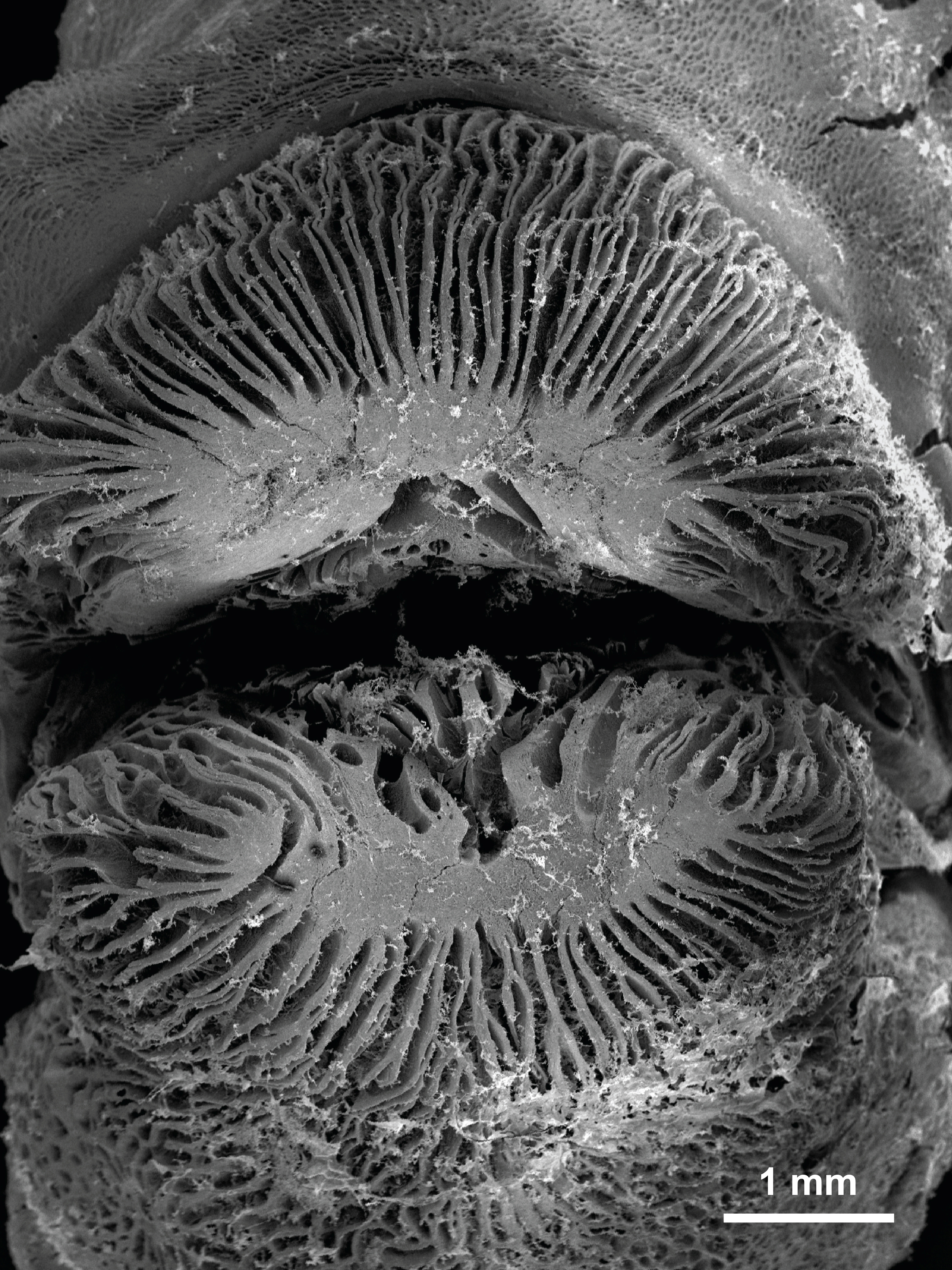 A scanning electron microscope image shows a close-up of the mouth of a tubelip wrasse with self-lubricating lips which enable the fish to 'kiss' mucus and flesh from the surface of corals in this undated photo released by James Cook University resea...
