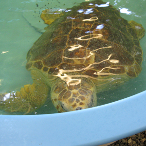 This loggerhead turtle is missing a flipper due to a shark injury.