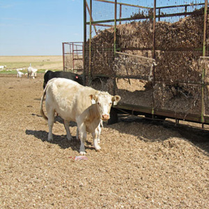 """The drought has raised the price of every type of cattle feed, including """"gin trash,"""" unwanted parts of the cotton plant produced as a by-product of the region's many cotton gins."""