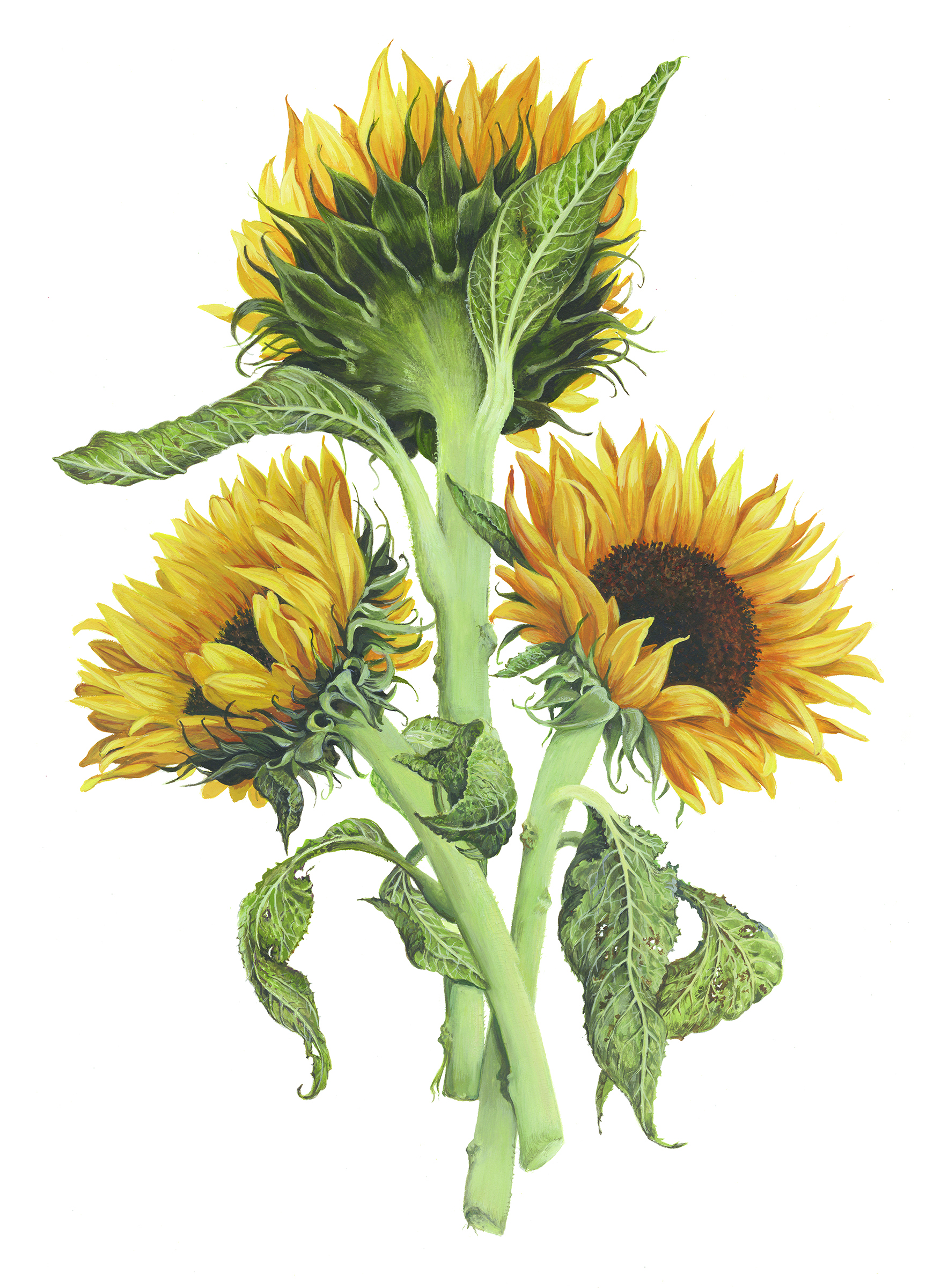 Three Sunflowers by Jeannetta vanRaalte, one of the sketches on exhibit. (United States Botanic Garden)
