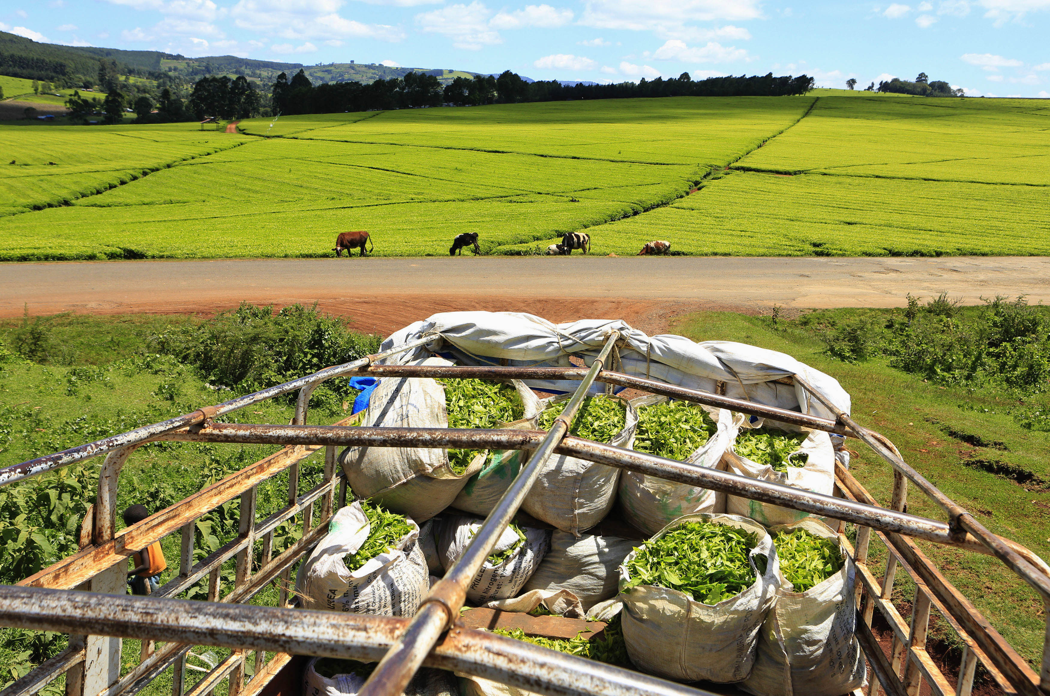 FILE- DATE IMPORTED: November 16, 2014 A truck is loaded with bags of tea leaves at a plantation in Nandi Hills, in Kenya's highlands region west of capital Nairobi, Nov. 5, 2014.