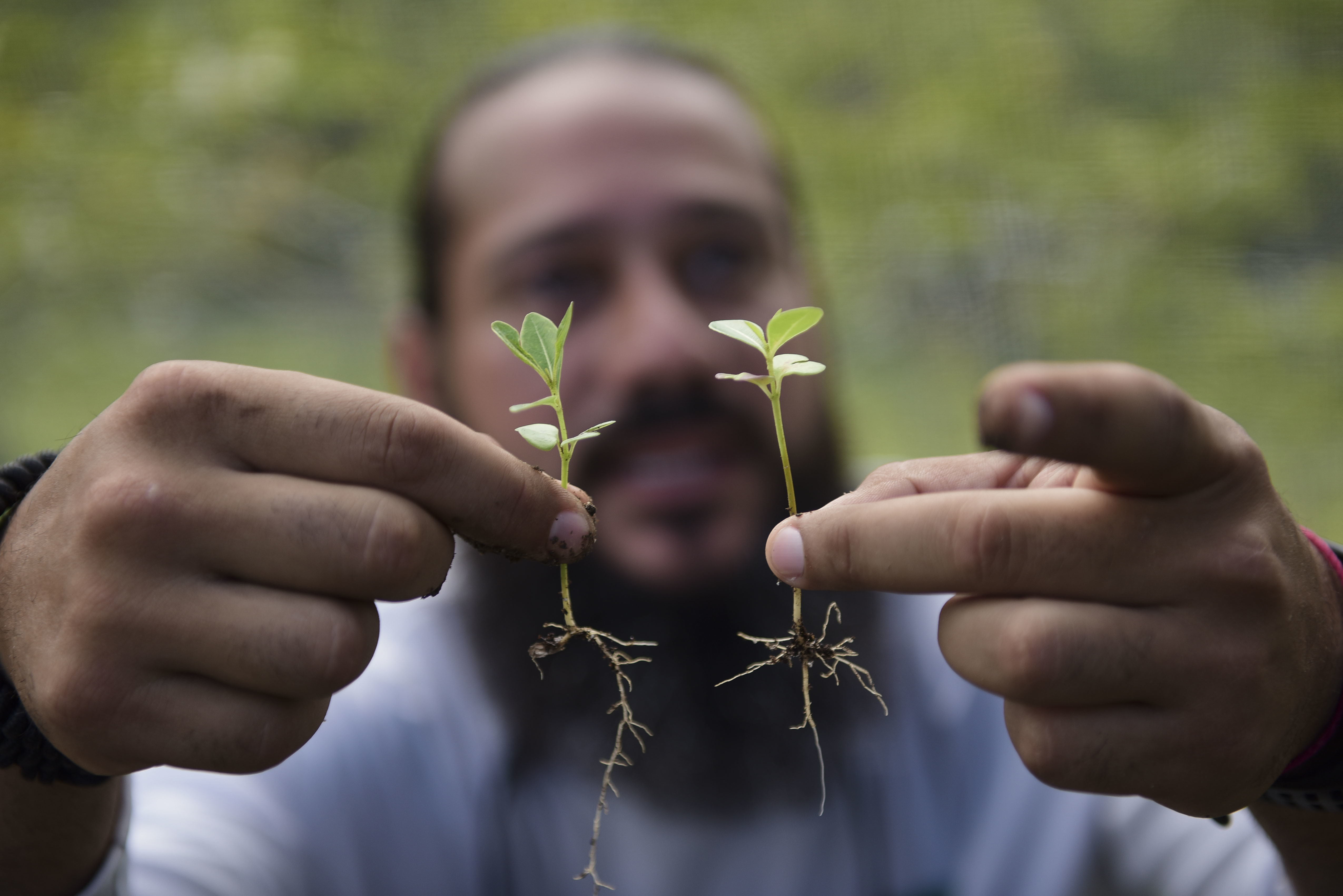 Manuel Sepulveda, a nursery management coordinator with Para la Naturaleza, a nonprofit organization, holds a couple of native oak seedlings, March 2, 2018, in one of its nurseries in the Rio Piedras Botanical Garden, in San Juan, Puerto Rico.
