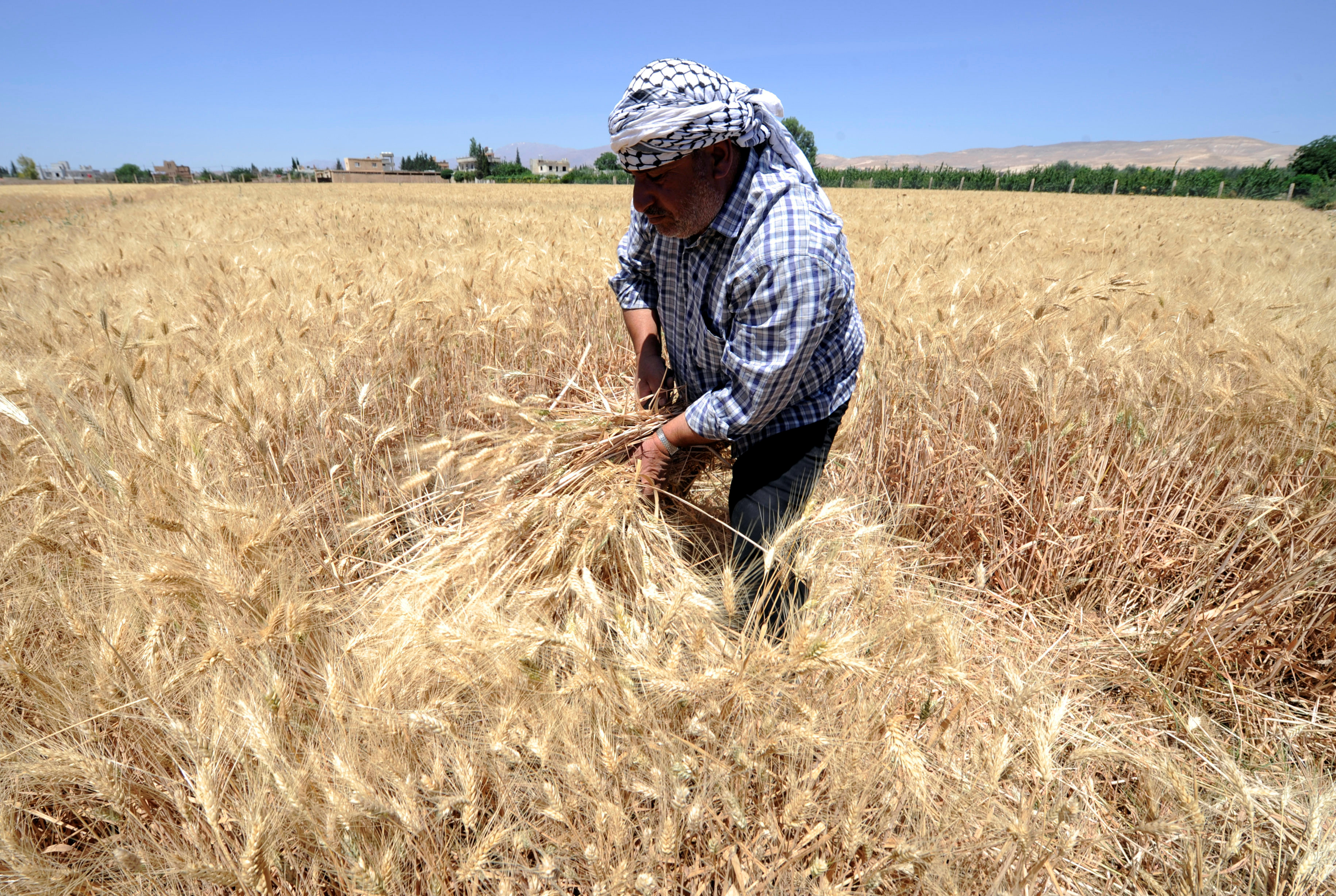 FILE - A farmer harvests wheat in a field in Jdeidet Artouz, a suburb southwest of Damascus, Syria, June 19, 2017.