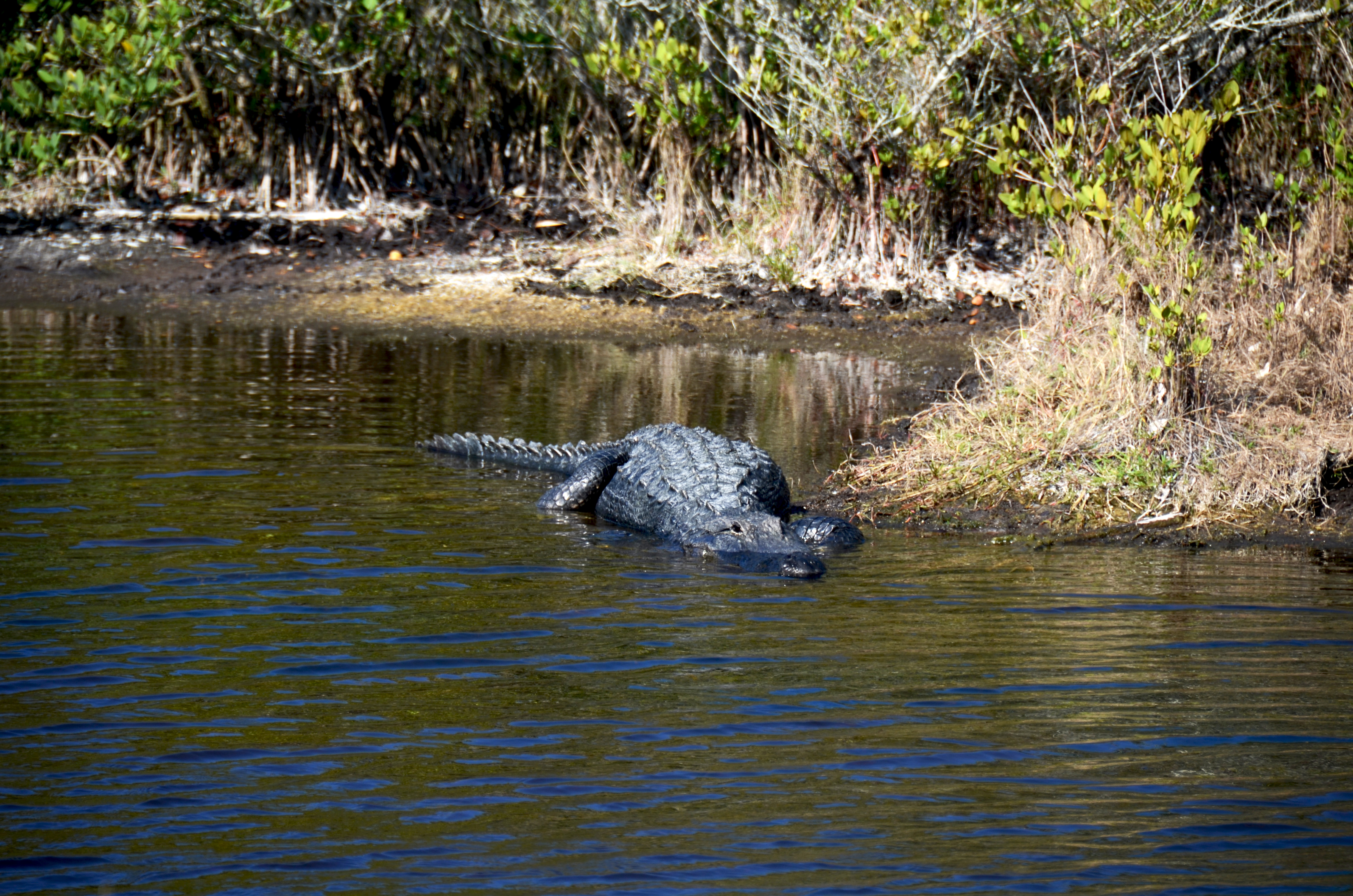 Many say no animal better represents Florida than the American alligator. They are one of the main attractions at the Canaveral National Seashore.