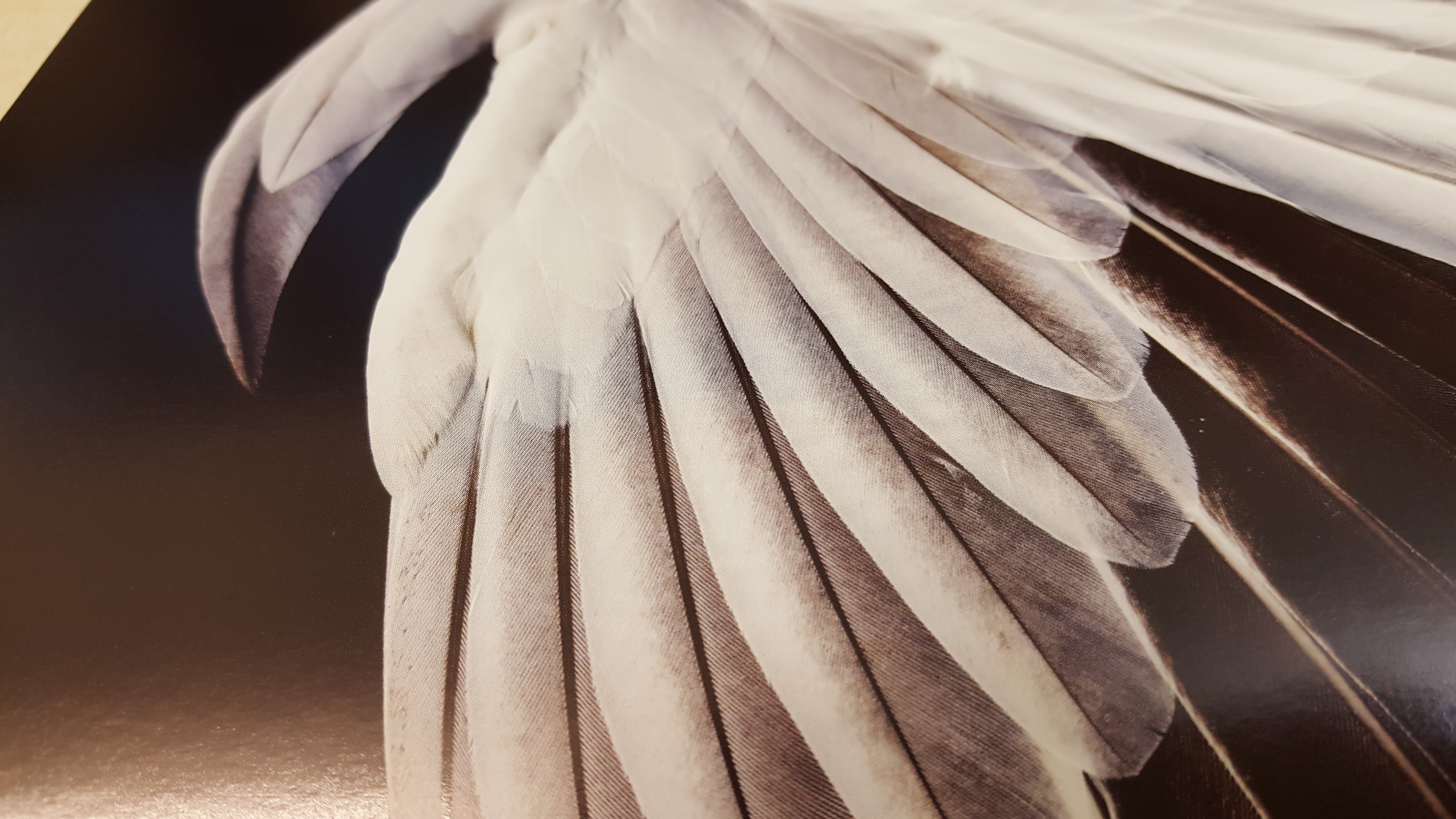 The lesser snow goose has two color phases: a dark (blue) plumage and a white (snow) plumage, so it is also known as the blue goose.