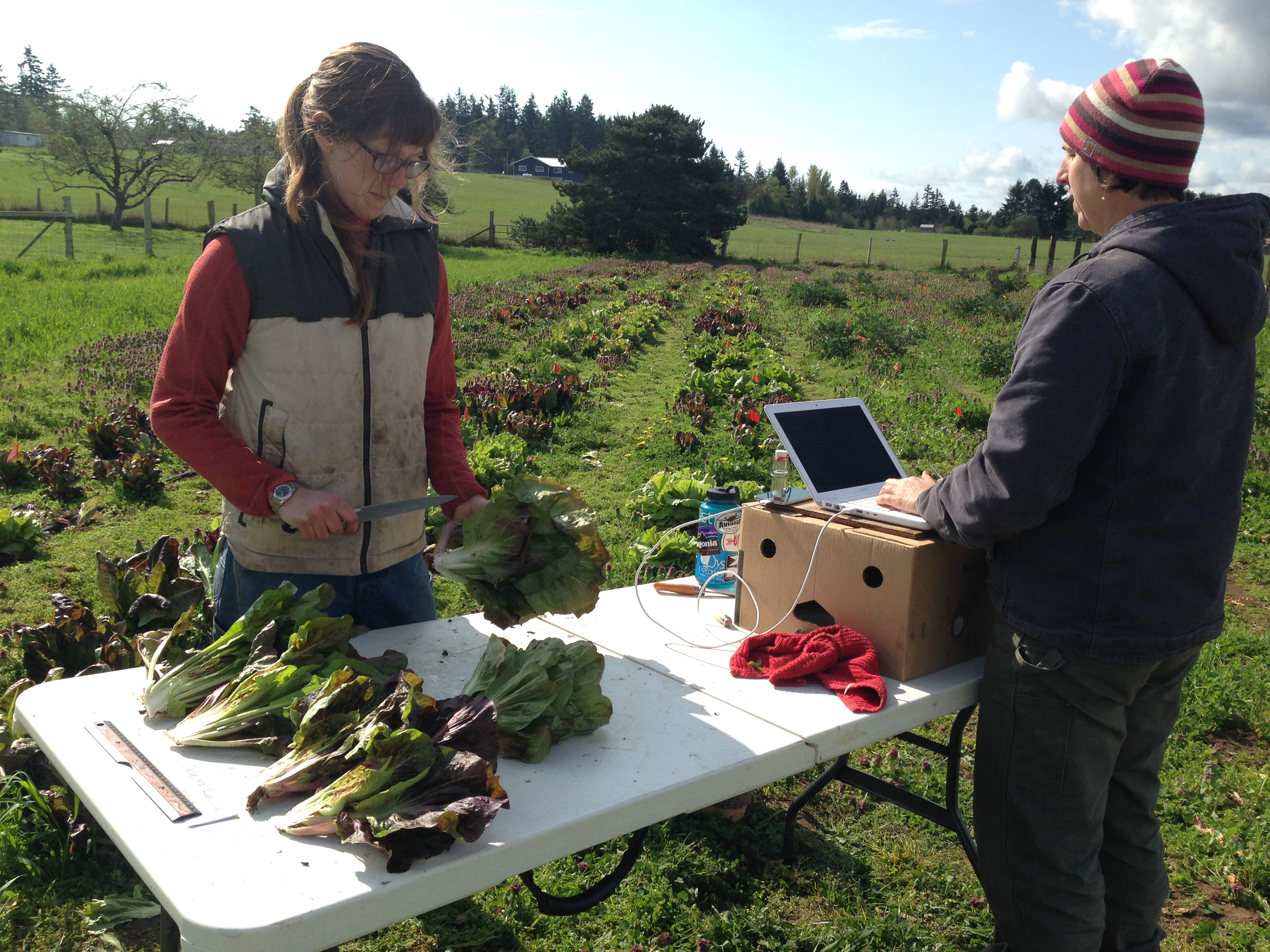 Vegetable trial evaluators at work at a Washington State University Extension experimental farm on Marrowstone Island, Wash. (Photo: Courtesy of Micaela Colley, Organic Seed Alliance)