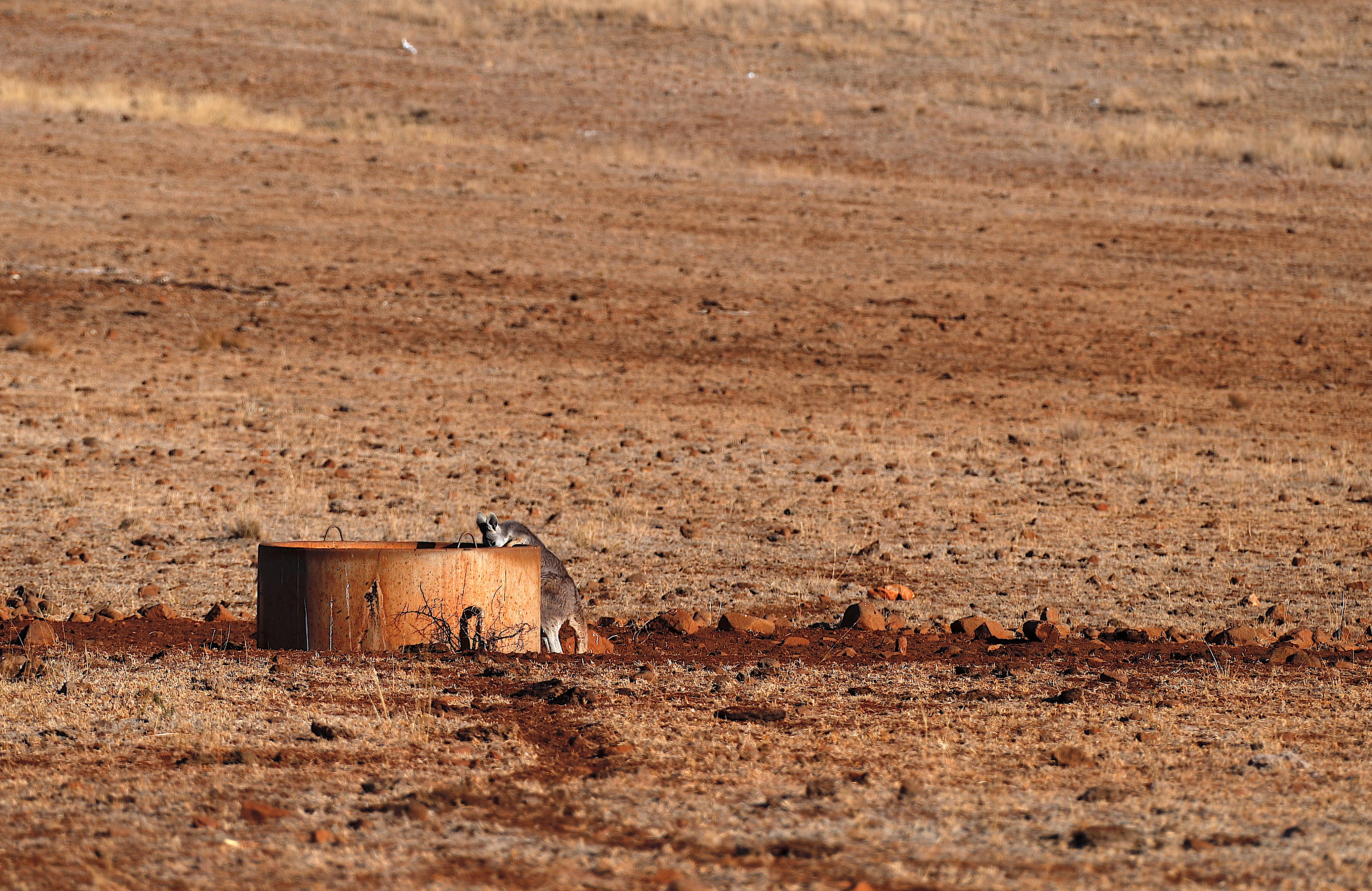 A kangaroo drinks from a water tank located in a drought-affected paddock on farmer Ash Whitney's property, located west of the town of Gunnedah in northwestern New South Wales, Australia, June 3, 2018.