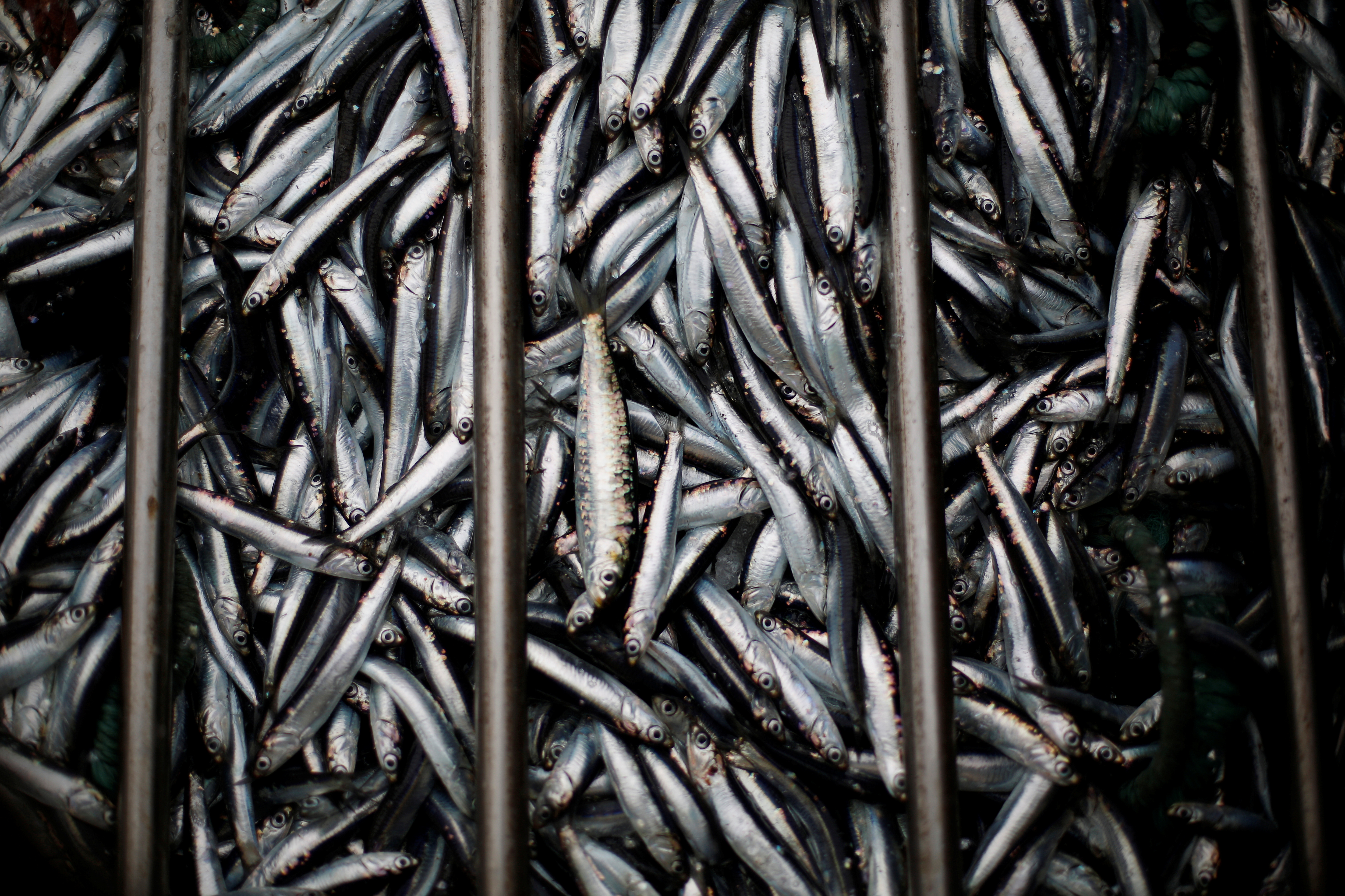 Anchovies are seen after being removed from a boat at the port of Matosinhos in Portugal, May 29, 2018.