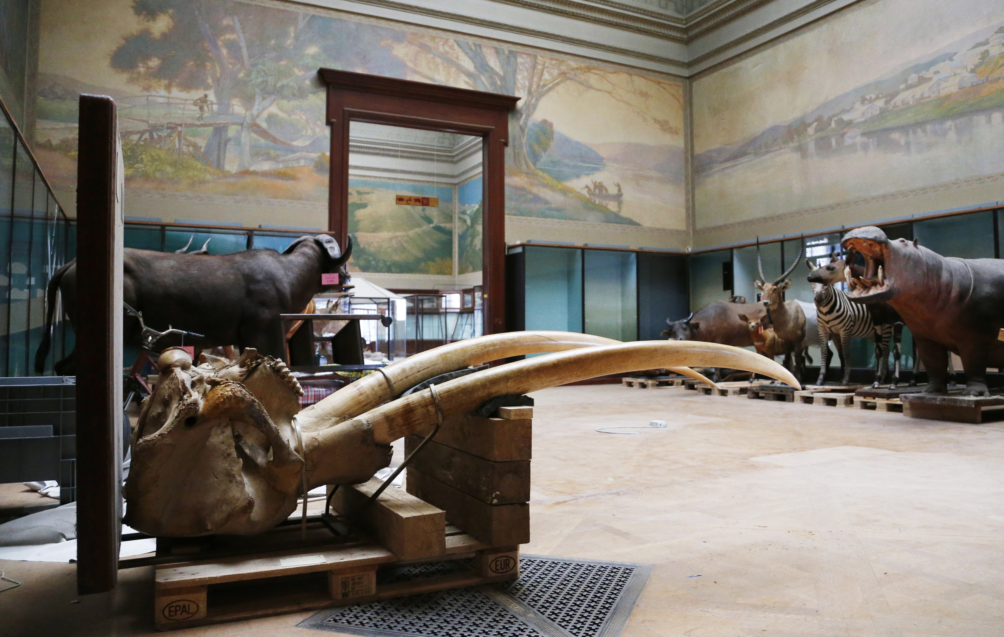 FILE -- Elephant tusks are seen near stuffed animals at the Royal Museum for Central Africa in Tervuren, near Brussels Jan. 22, 2014. After a five-year renovation, the museum reopened, Dec. 8, 2018.