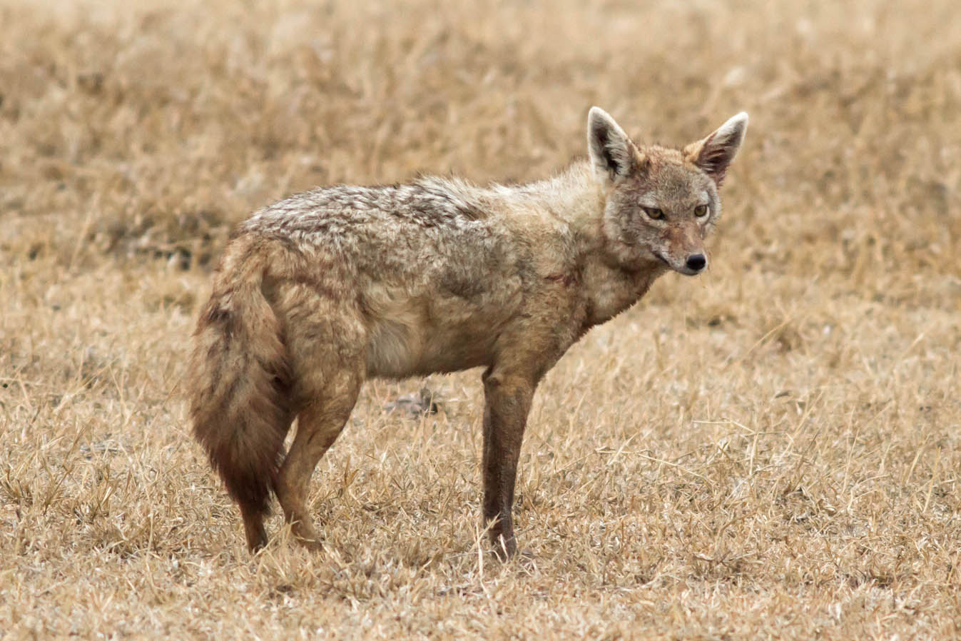 A Jackal at the Ngorongoro Conservation Area illustrates how modern cursorial canids look. (Credit: Daniel Montero López with Borja Figueirido)