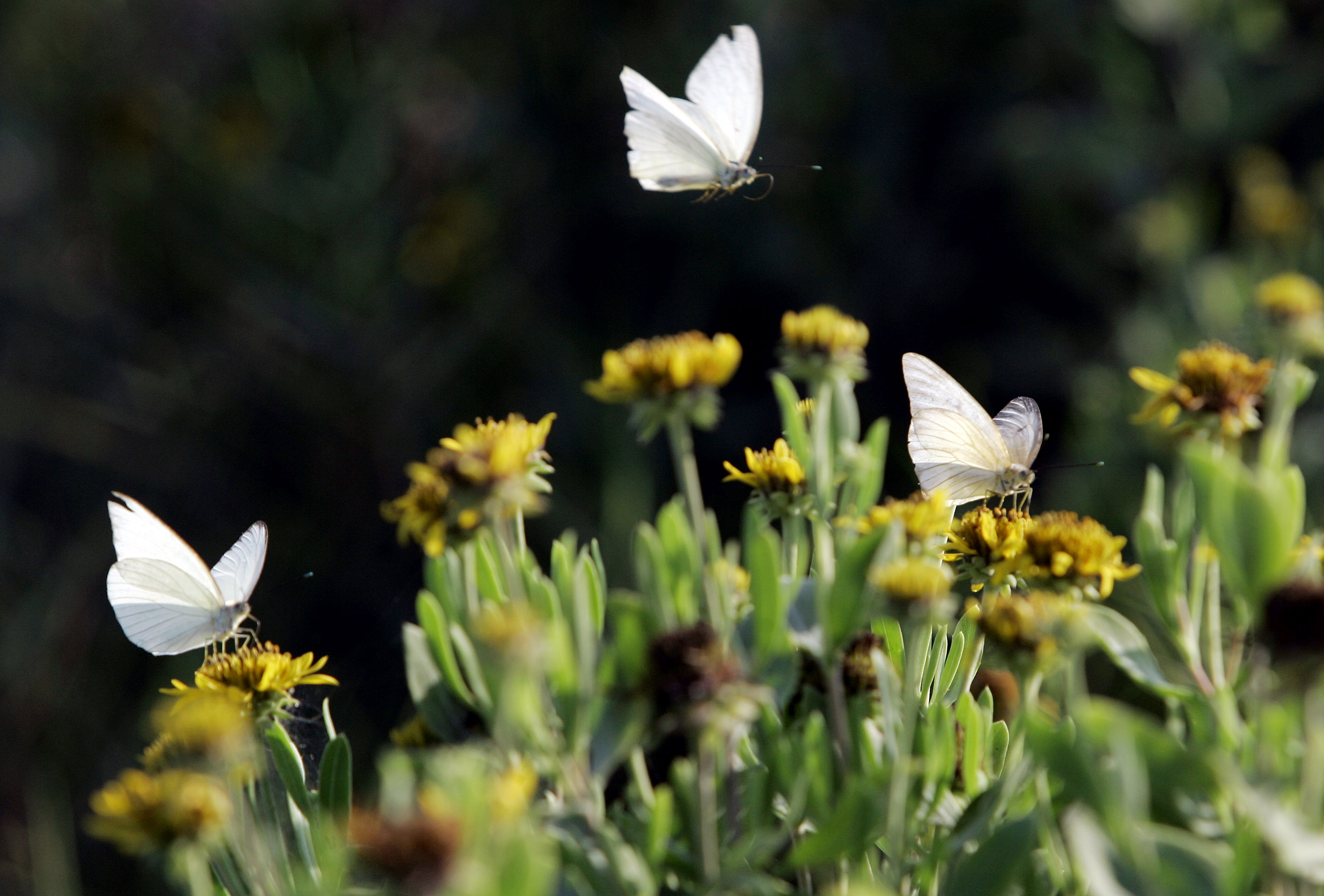 Butterflies land on wild flowers at Boca Chica, Texas, where the Rio Grand meets the Gulf of Mexico, May 10, 2007. Wildlife enthusiasts fear the Santa Ana National Wildlife Refuge could be ruined by the fences and adjacent roads the U.S. government p...
