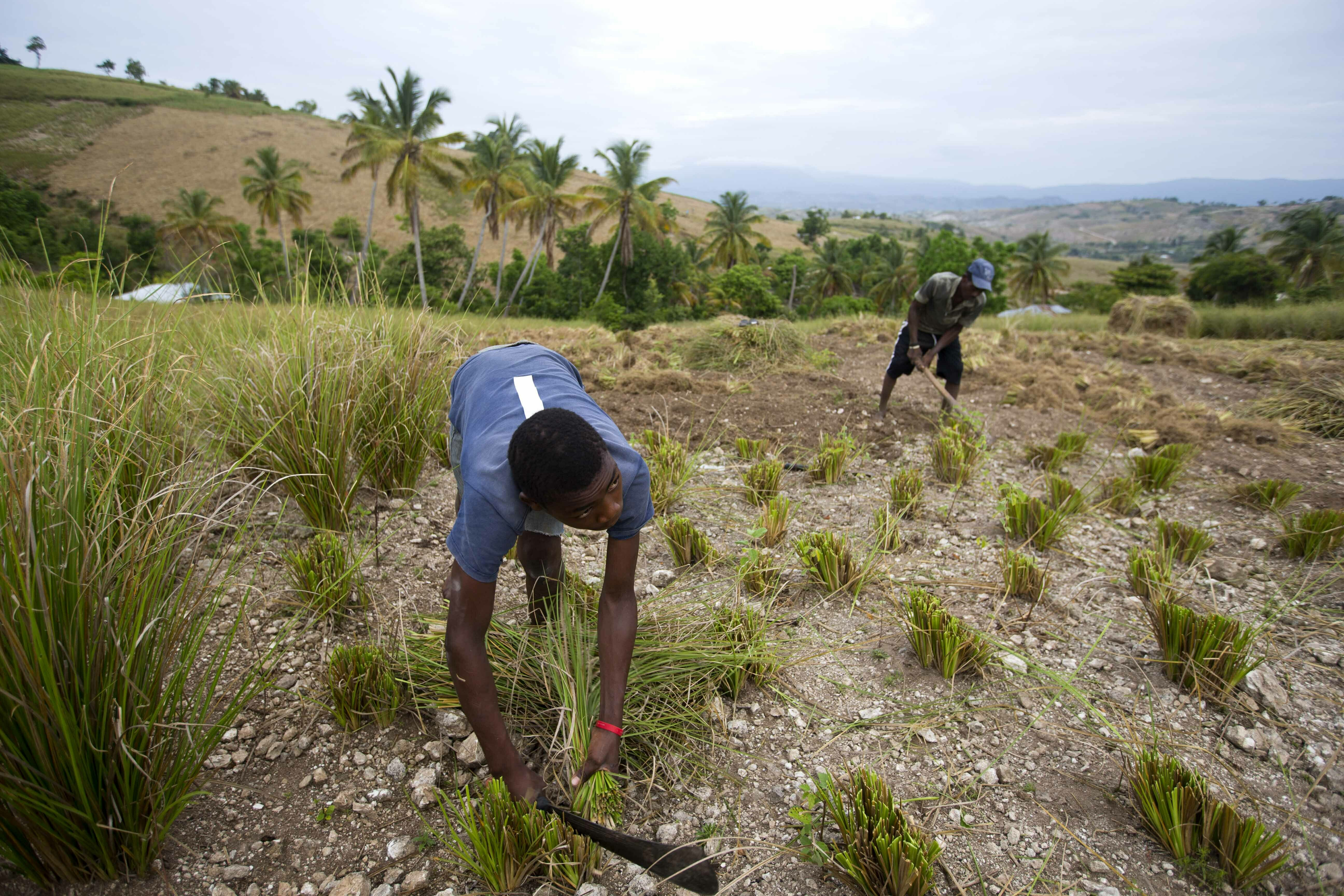 Amid Crisis, Haiti Wants to Save Oil Used in Fine Perfumes