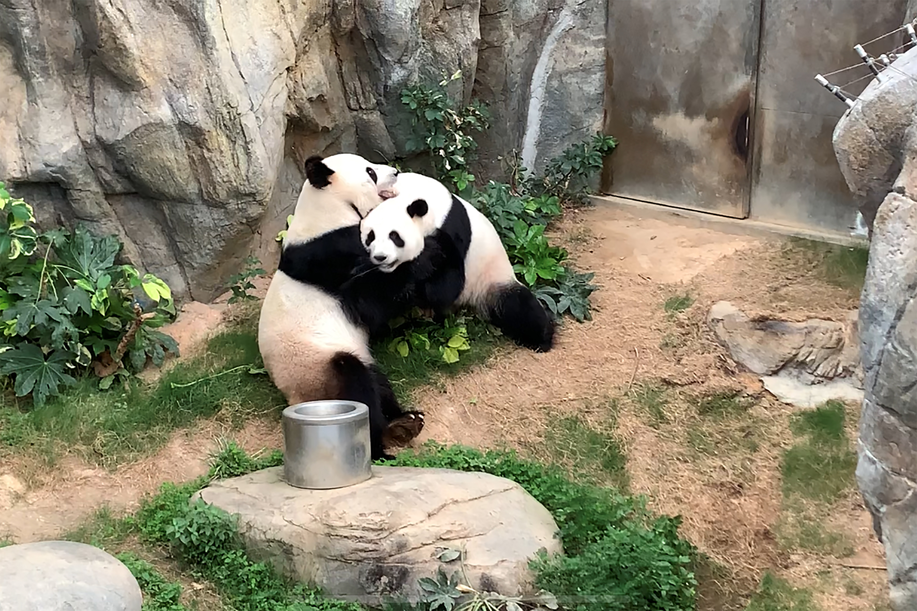 Giant pandas Ying Ying and Le Le are seen before mating at Ocean Park, Hong Kong, April 6, 2020. Stuck at home with not much else to do, pandas finally decided to give mating a go after a decade of dodging the issue. (Photo by Ocean Park Hong Kong)