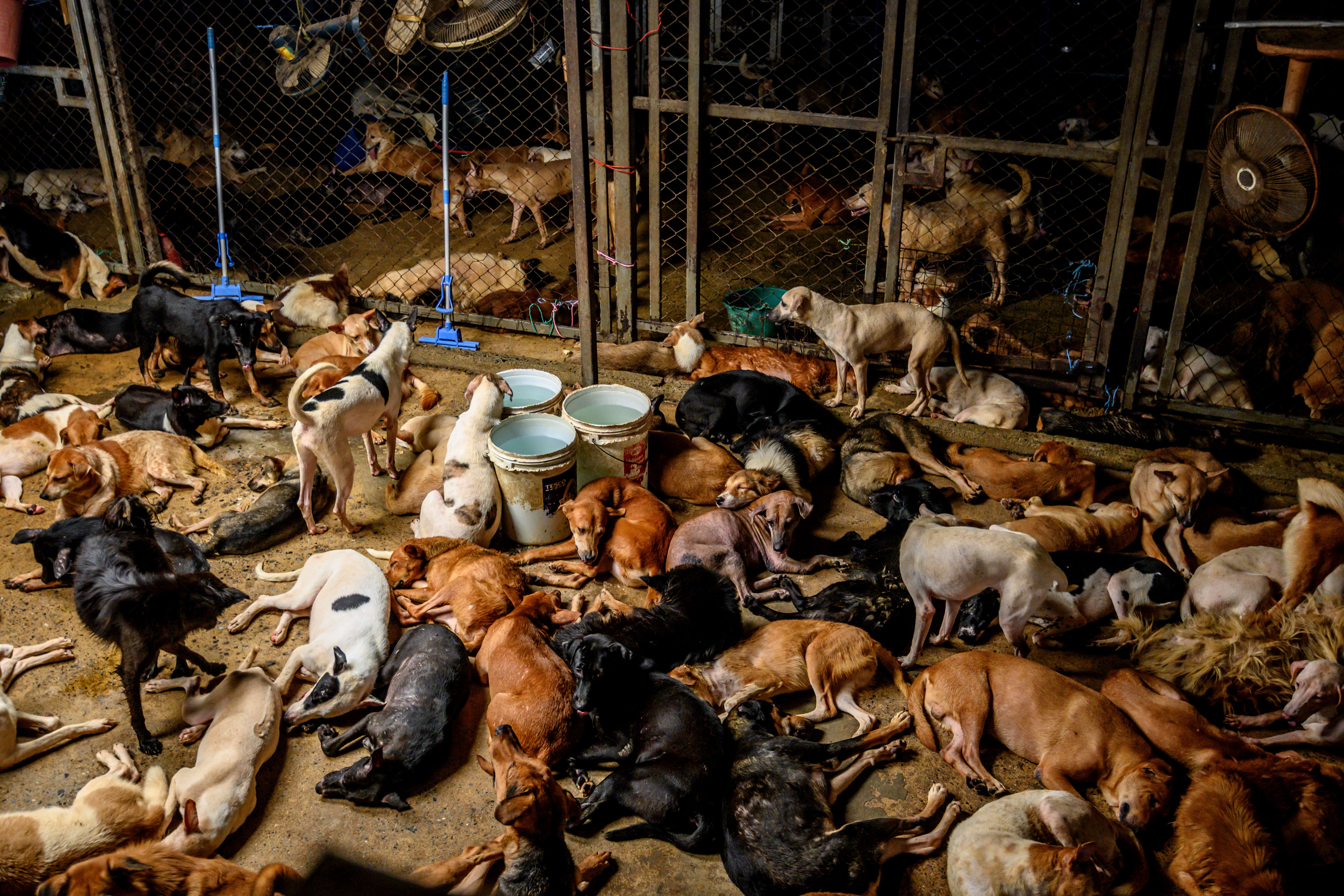 Dogs rest in a crowded enclosure at Auntie Ju's shelter for stray dogs on the outskirts of Bangkok where some 1,500 canines rescued from the streets around the Thai capital are being housed.
