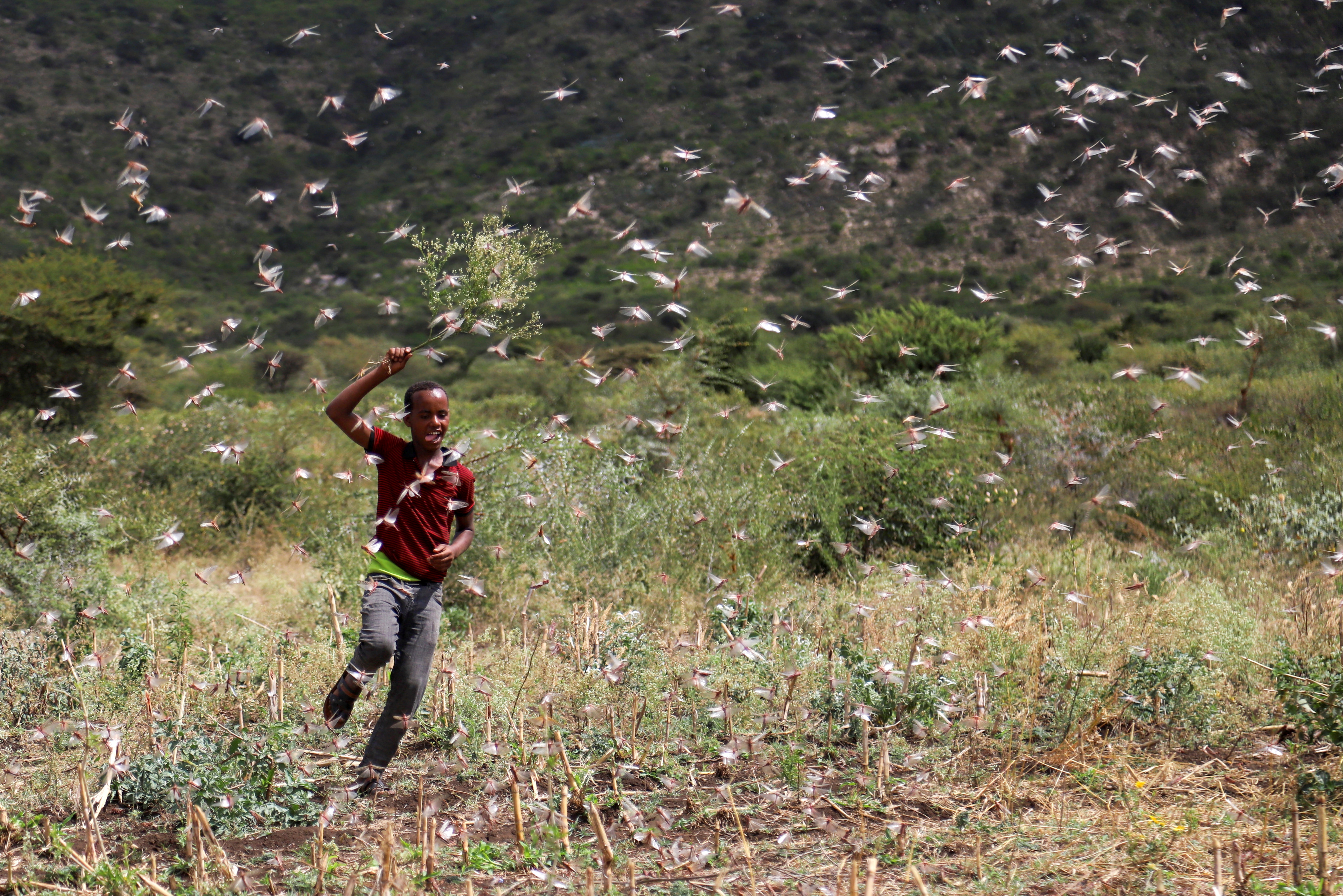 New Swarms of Locusts Threaten Crops, Food Security in Ethiopia