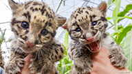 Baby clouded leopards, born early in March 2015 are presented by zoo keepers at the Olmense Zoo in Olmen, Belgium, April 16, 2015. The clouded leopard is an endangered species with only some 10,000 specimen remaining on earth, said Robby Van der Veld