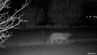 FILE - A snow leopard is caught on a camera in Ile-Alatau National Park, in the mountains near Almaty, Kazakhstan, in this still image from an undated handout video. (Snow Leopard Foundation/Handout via Reuters)