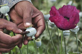 FILE - A man lances a poppy bulb to extract the sap, which will be used to make opium.
