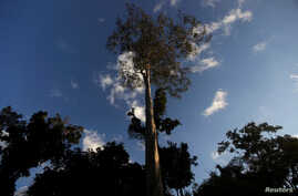 A Seringueira rubber tree, which is native to the Amazon rainforest, stands in Chico Mendes Extraction Reserve in Xapuri, Acre state, Brazil, June 24, 2016.
