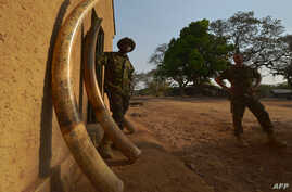 FILE - A scout (L) stands among elephant tusks confiscated from poachers in the past on February 4, 2016 at the Garamba National Park in north-eastern Democratic Republic of Congo (DRC) where in the past three years alone, over 100,000 African elepha...
