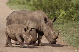FILE - Rhinos walk in the Hluhluwe-Imfolozi game reserve in South Africa, Dec. 20, 2015. The country is currently looking to partially legalize the trade in rhino horn.