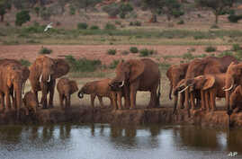Elephants gather at dusk to drink at a watering hole in Tsavo East National Park, Kenya, March 25, 2012.