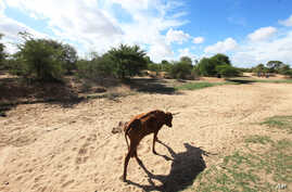 FILE - Impoverished cattle walk along a dried up river bed in the village of Chivi, Zimbabwe, Jan. 29, 2016, Zimbabwean president Robert Mugabe declared a state of disaster to deal with a drought afflicting the region.
