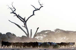 FILE - Maasai cattle walk through an are stripped of vegetation, Jan. 4, 2006.