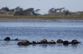 FILE - Sea otters are seen together along the Elkhorn Slough in Moss Landing, Calif., March 26, 2018. Along 300 miles of California coastline, southern sea otters under state and federal protection as a threatened species have rebounded from as few a