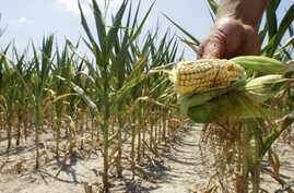 FILE - A farmer holds a piece of his drought- and heat-stricken corn while chopping it down for feed in Nashville, Illinois, July 11, 2012.