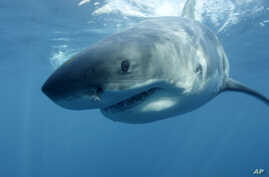 FILE - In this undated file publicity image provided by Discovery Channel, a great white shark swims near Guadalupe Island off the coast of Mexico.