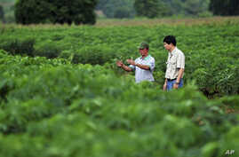 Scientists check at cassava plantations for signs of pests and diseases at a field in northeastern Thailand.