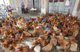 FILE - Chicken are displayed for sale at a wholesale poultry market in Ha Vy village, outside Hanoi, Vietnam, April 5, 2013.
